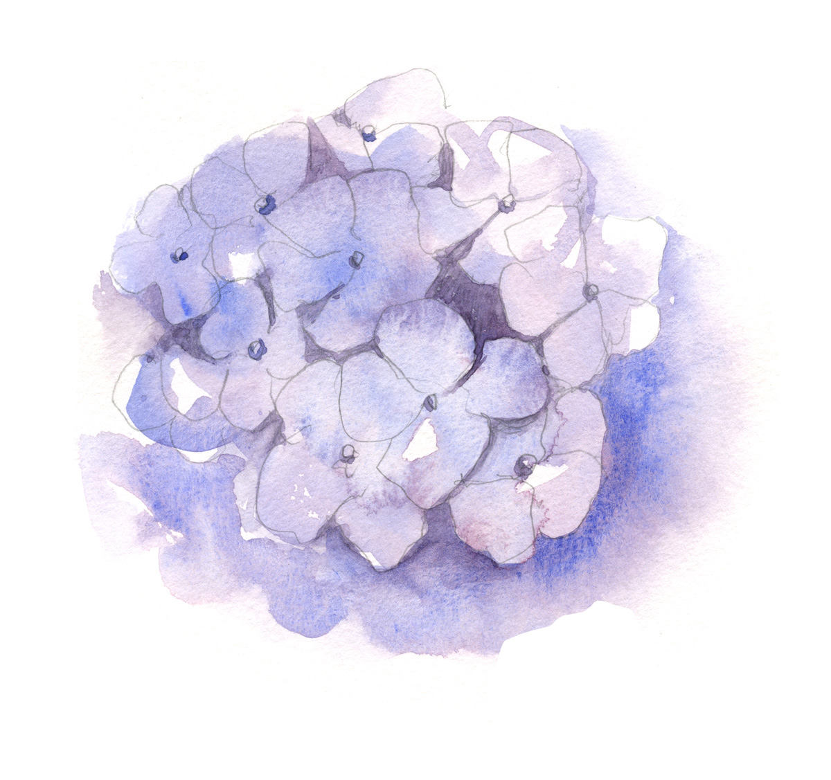 hydrangea+1.jpg