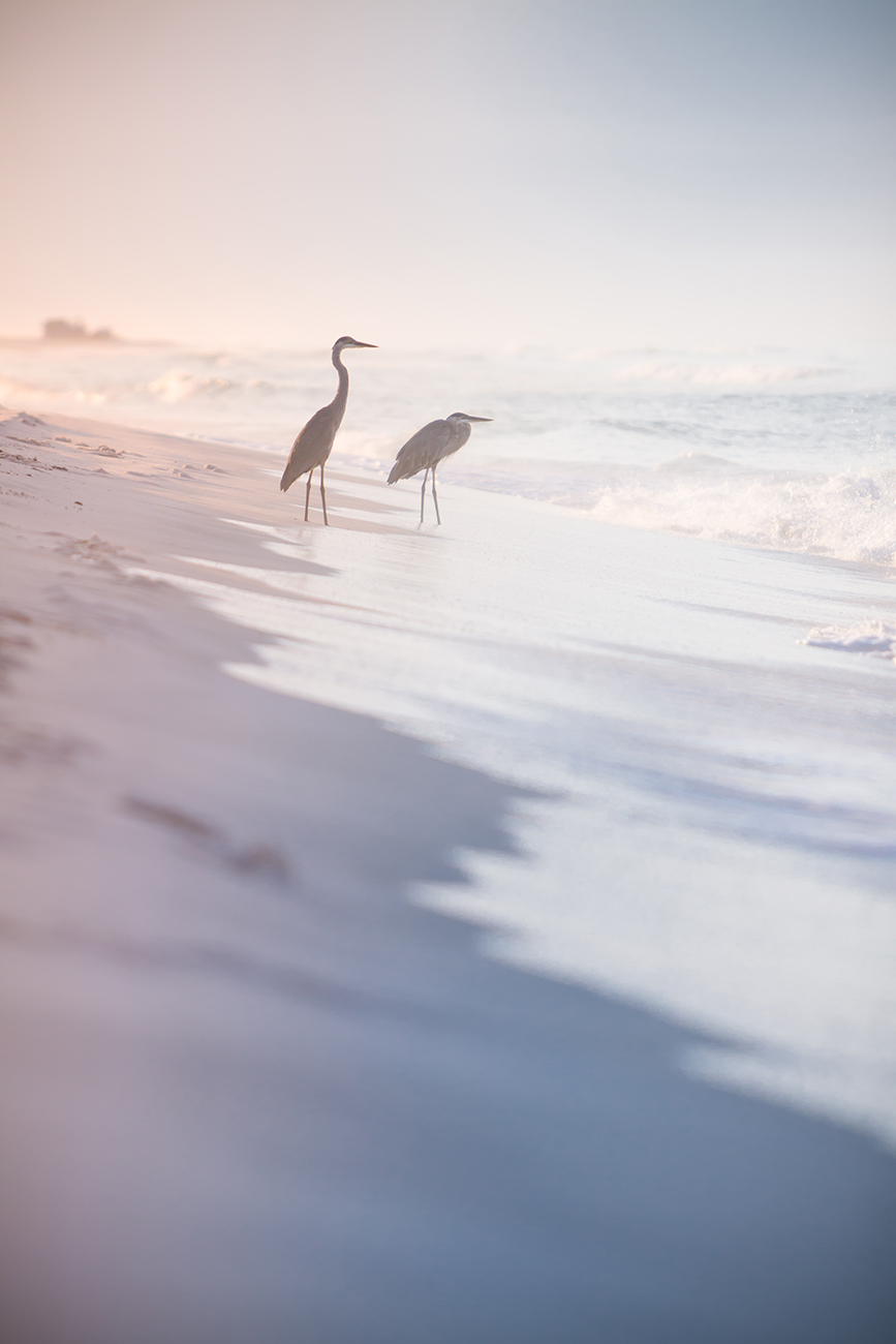A pair of herons in the surf.