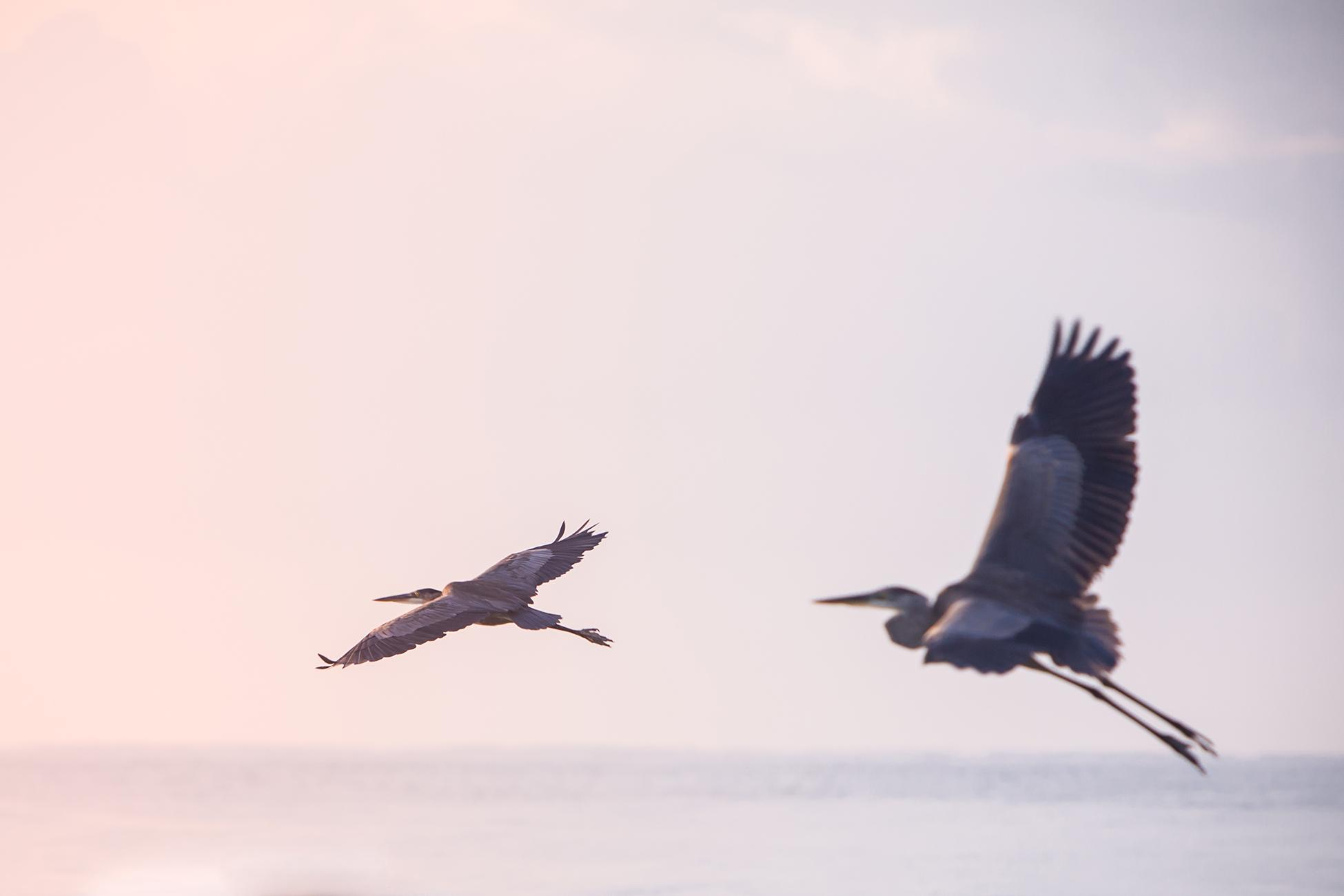 Heron's in flight.