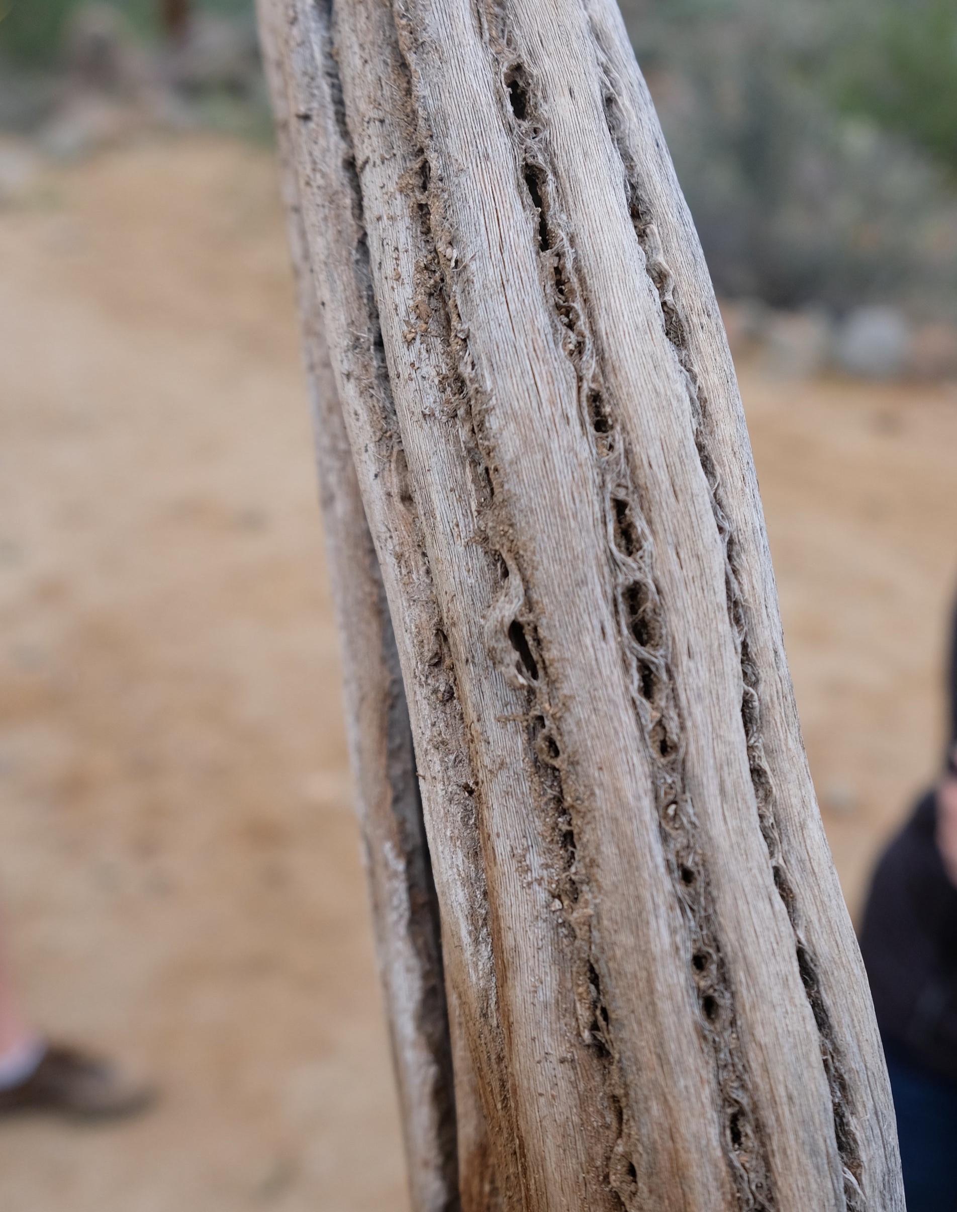 Cage structure inside a dead Saguaro cactus