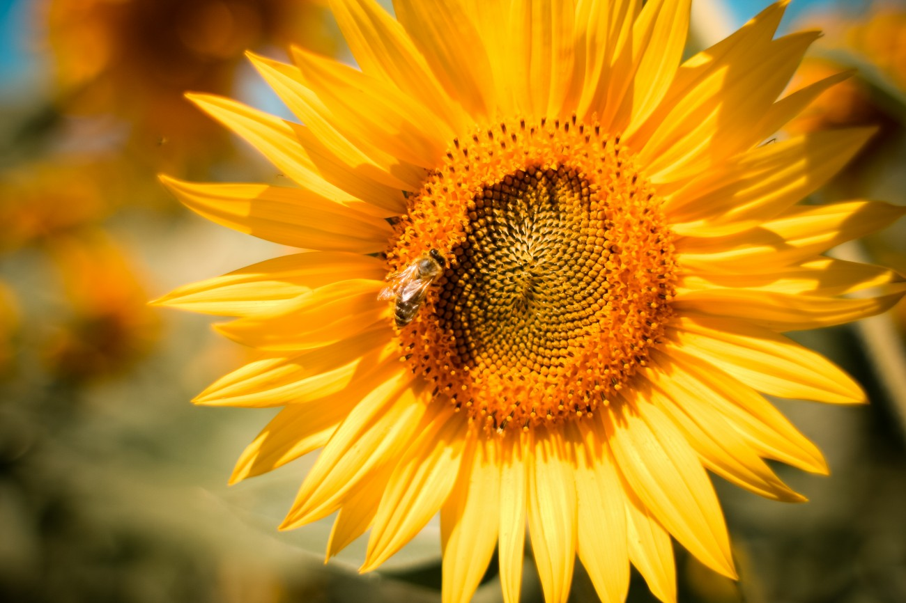 Sunflower with bee.jpg