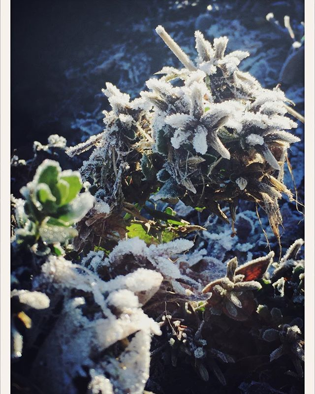 Magical frost at the lodge. #bigbendlodge #norcal