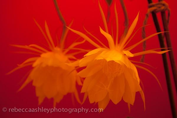 Night Blooming Cereus II