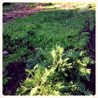 See all that green? That is ALL TANSY. What's gonna happen?