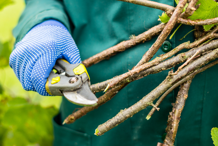 Gardener pruning branches clippers