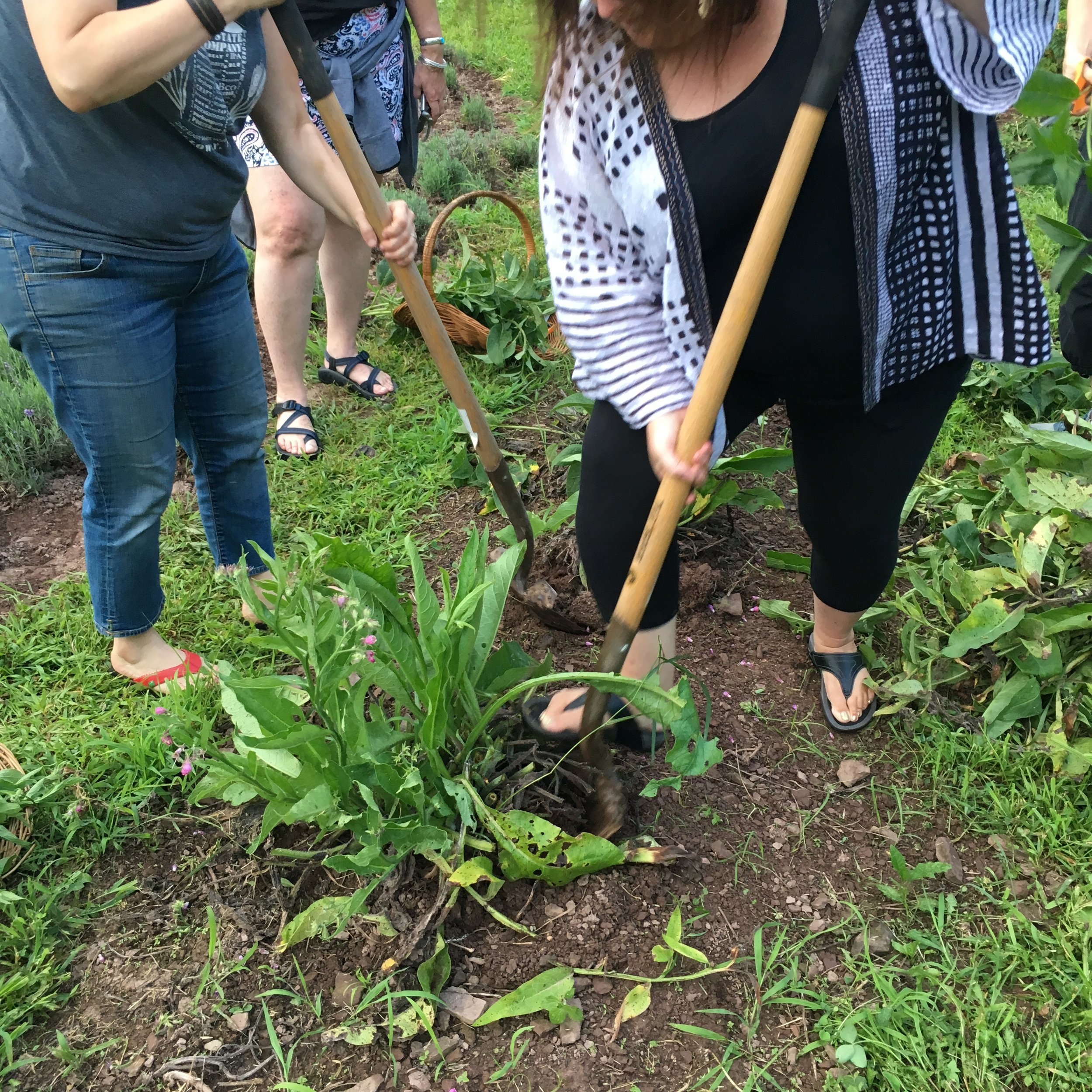 Digging comfrey root divisions