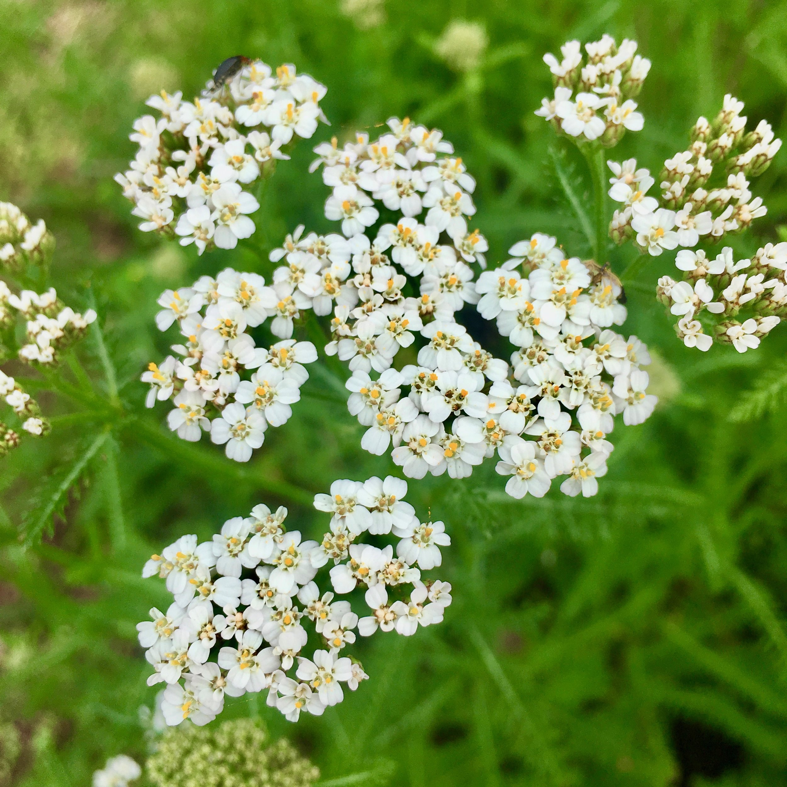 White Yarrow wants to strengthen your boundaries and heal your aura.