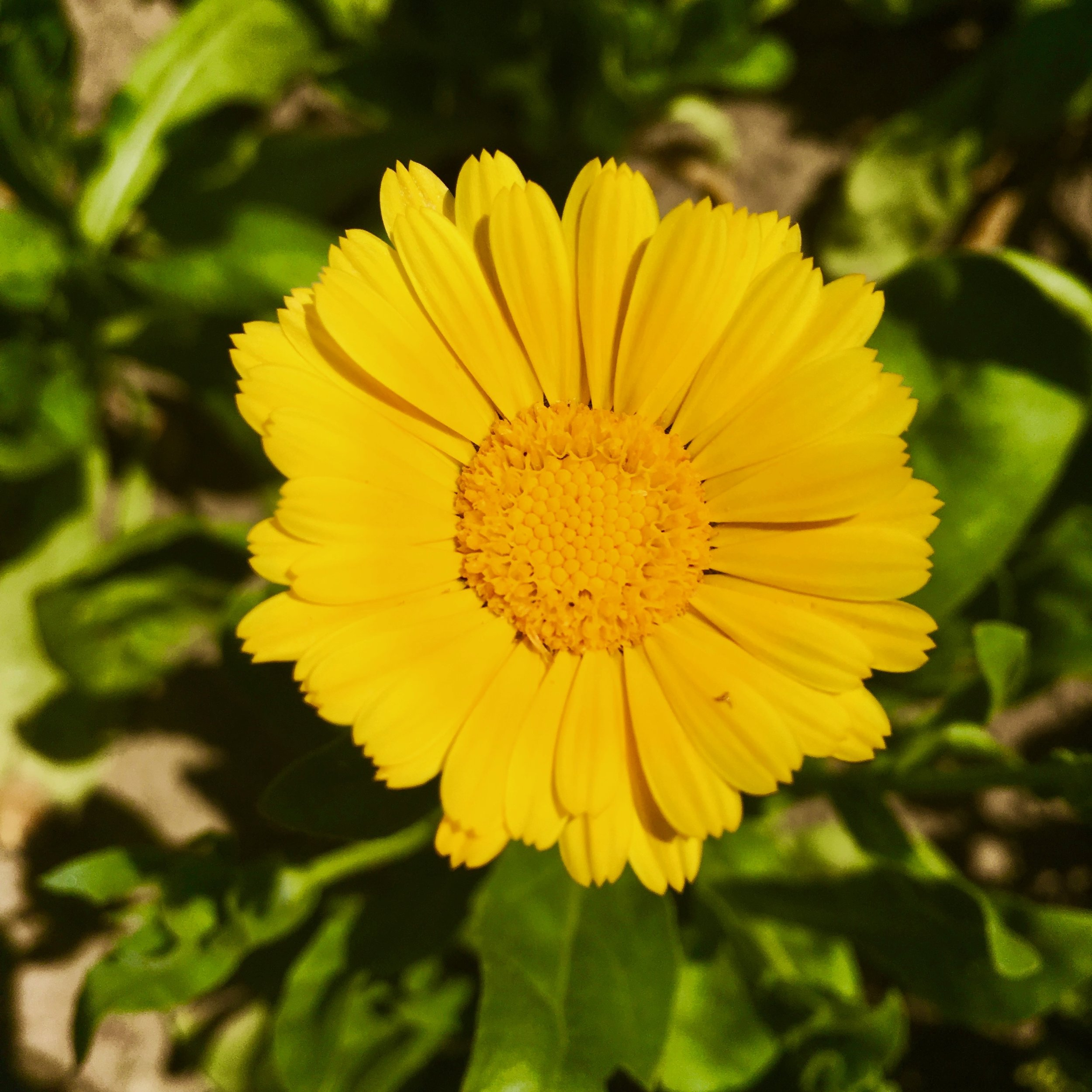 Calendula channels the brightness of the sun into your body…