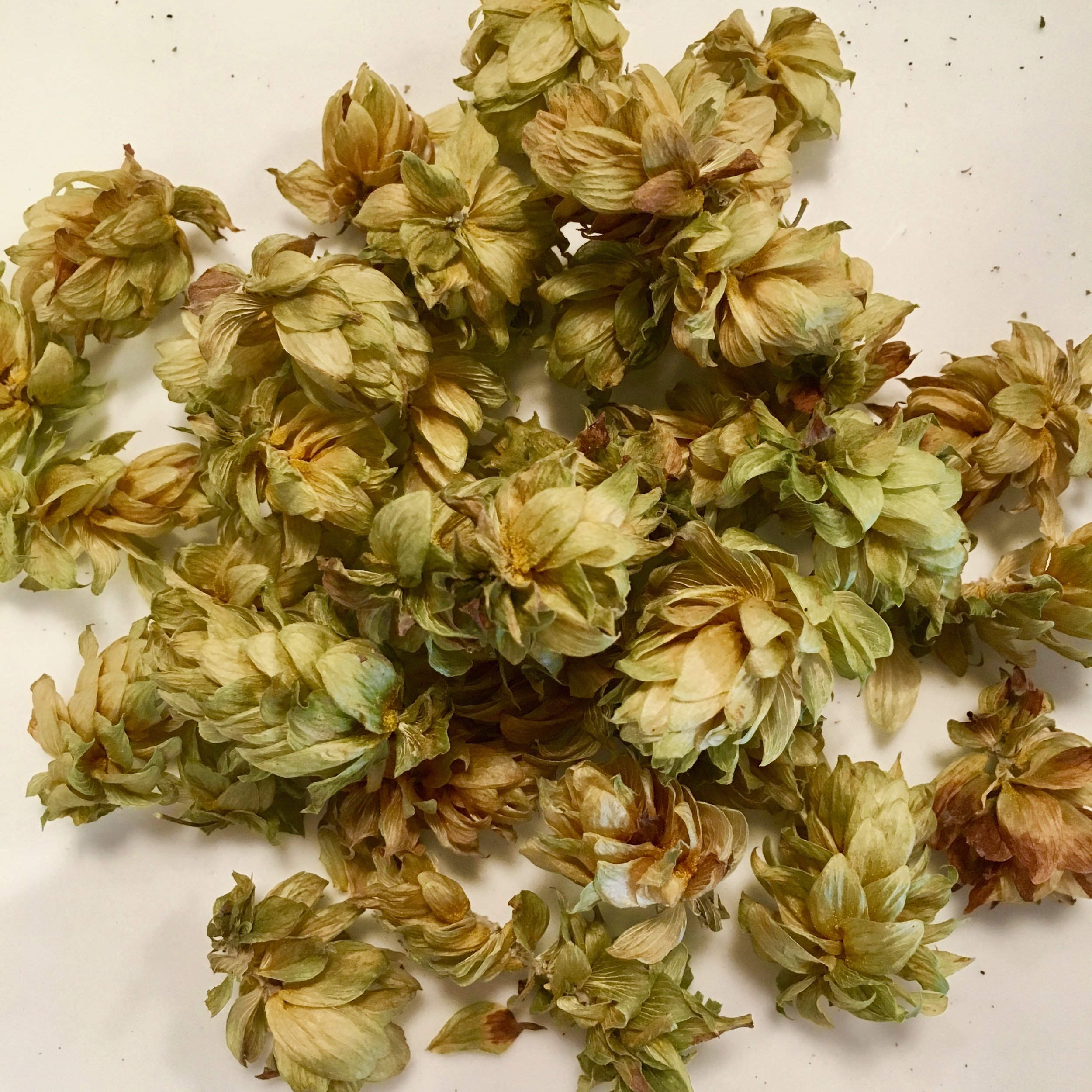 Hops are waiting to pull the truth out of you…