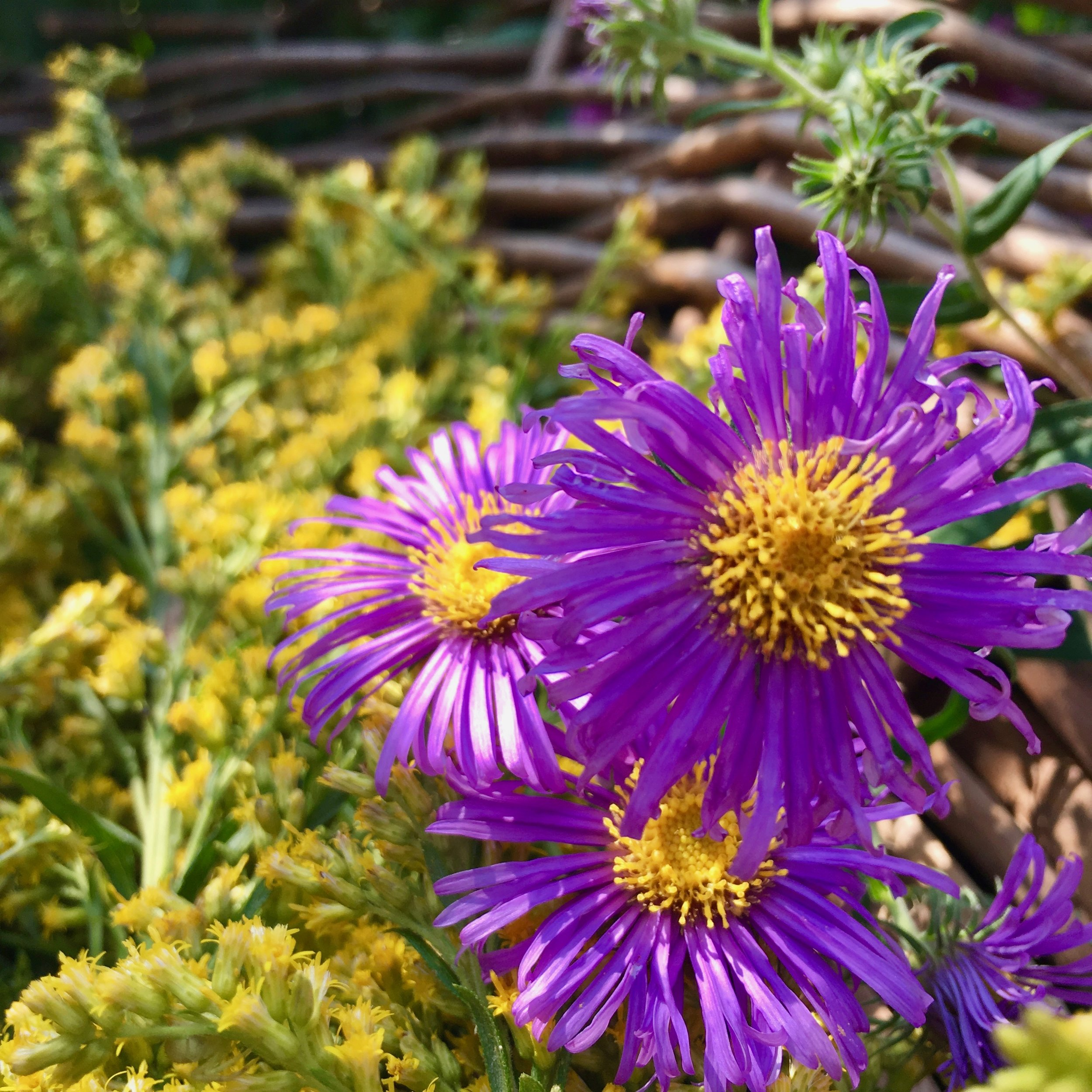Wild Asters wants to teach you a lesson in reciprocity…