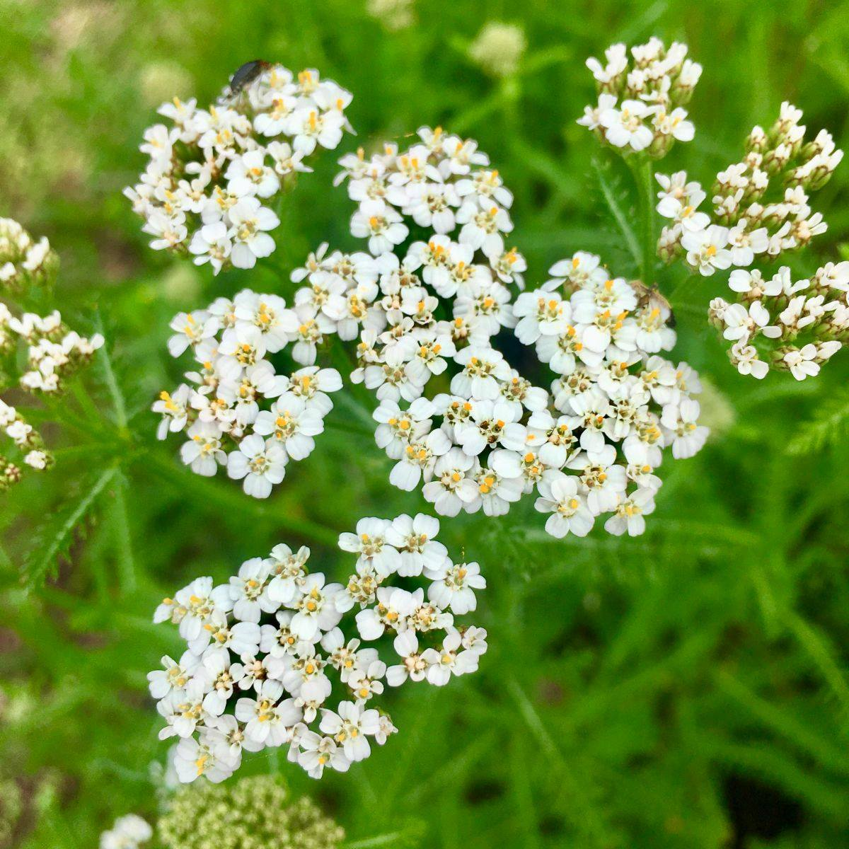 White yarrow in all its anti-goop glory
