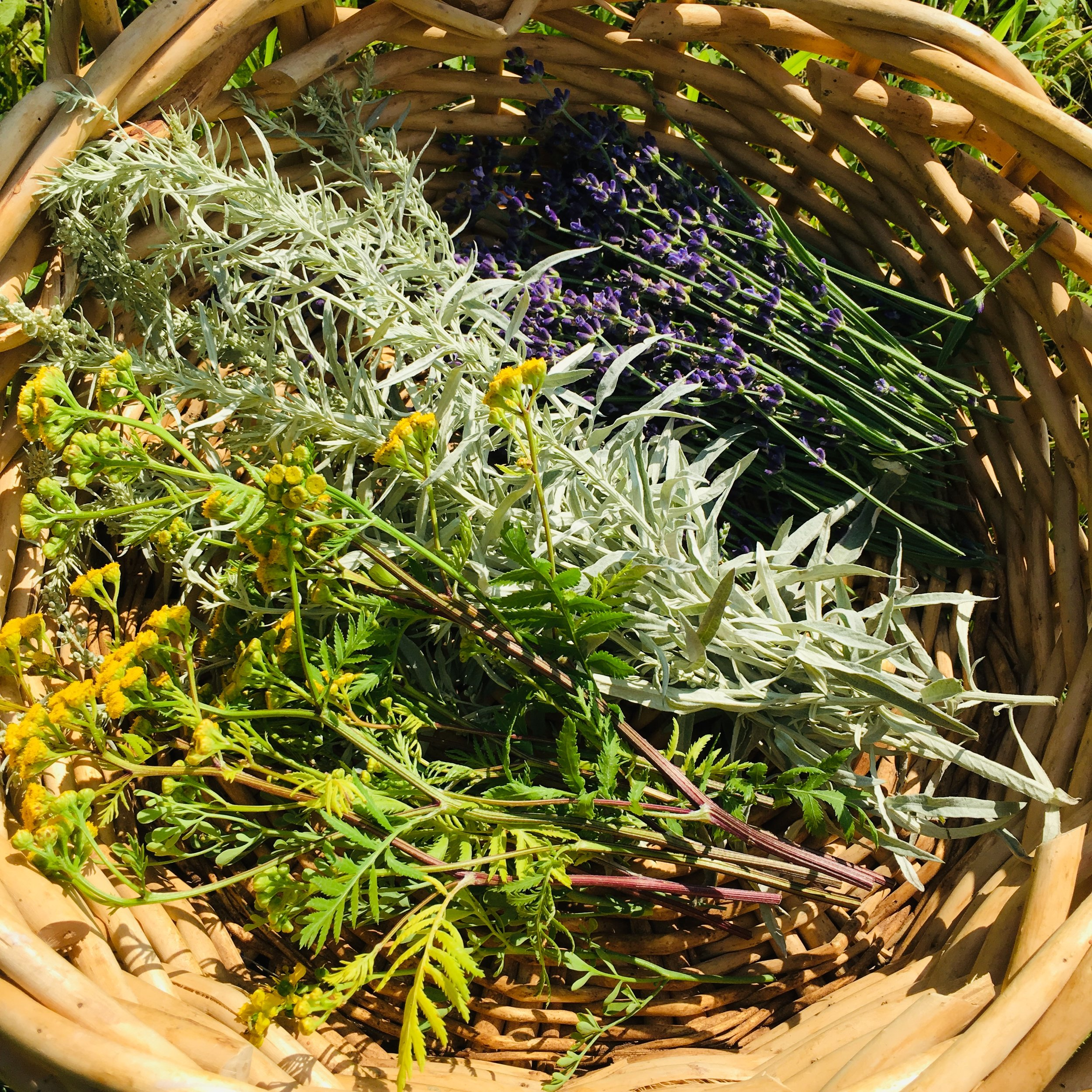 Tansy, Western Mugwort, and Lavender to hang in our home.