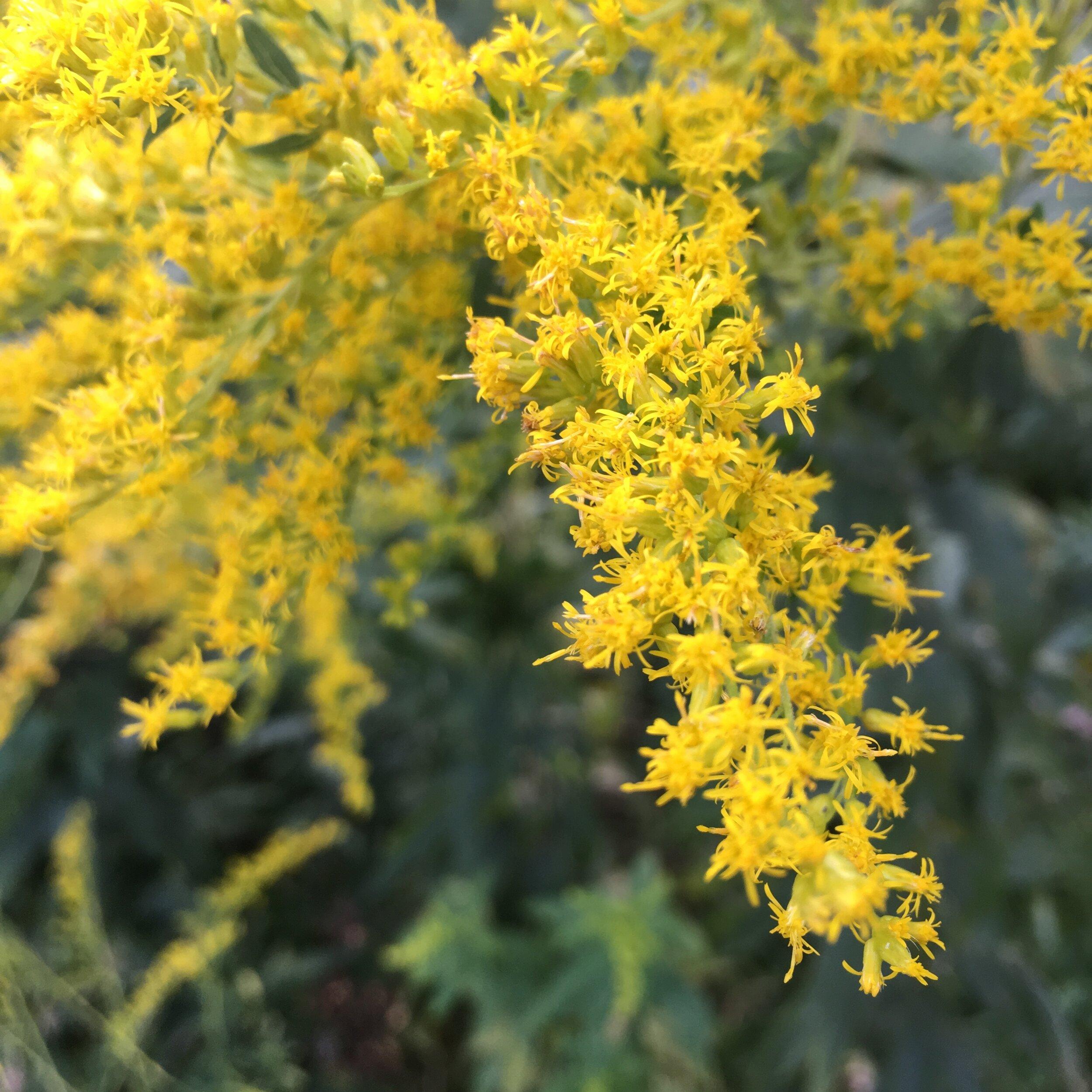 Goldenrod blooming in the September sun…