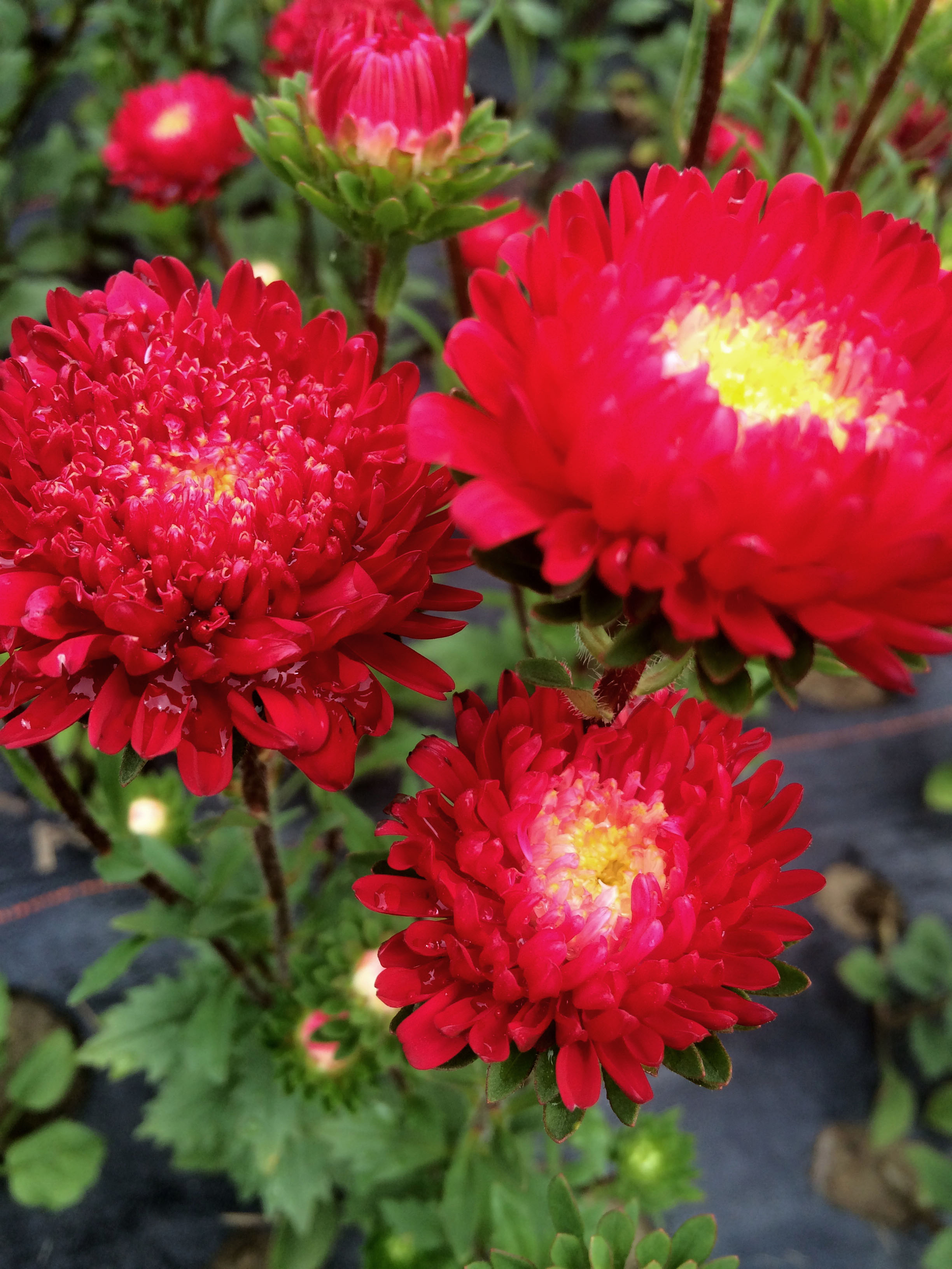 Red Matsumoto Asters are brilliant, long lasting flowers that add punch and volume to any bouquet.