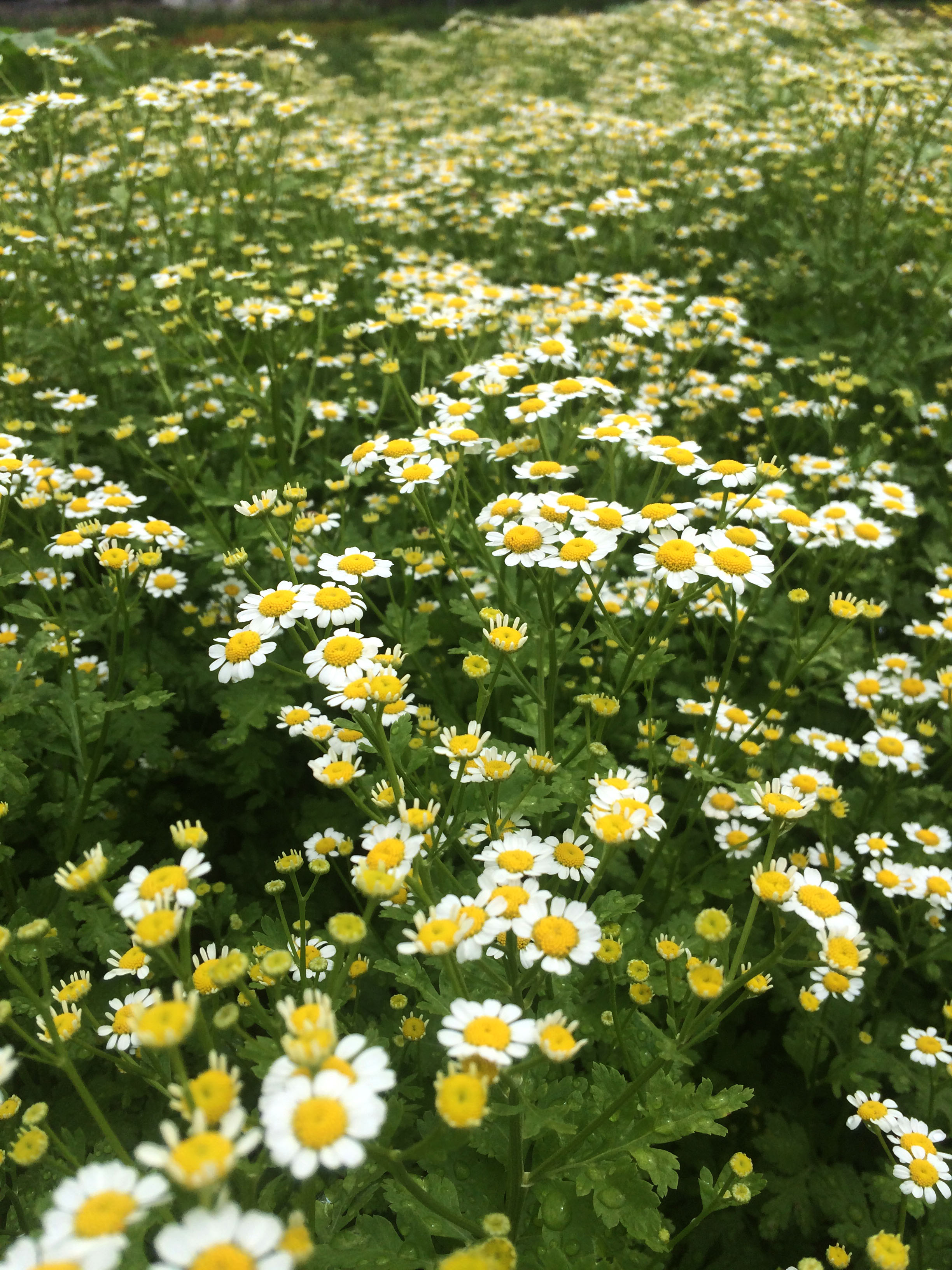Chamomile with it's many tiny cheerful blooms adds a freshly foraged feel to any group of flowers.