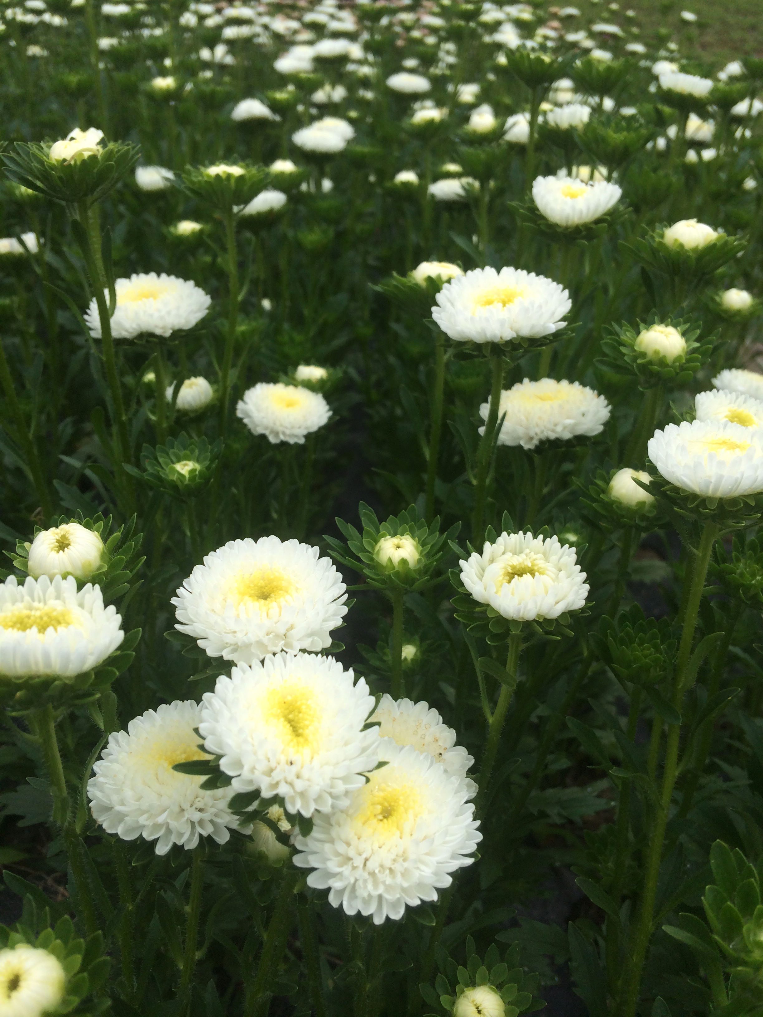 Snow white matsumoto asters are a perfect accent flower for a colorful summer bouquet.