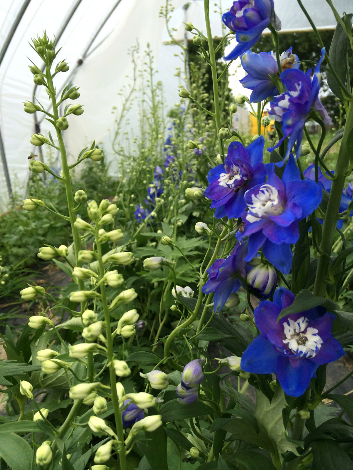 Blue delphinium stems are tall and popping with excitingly vibrant blooms!