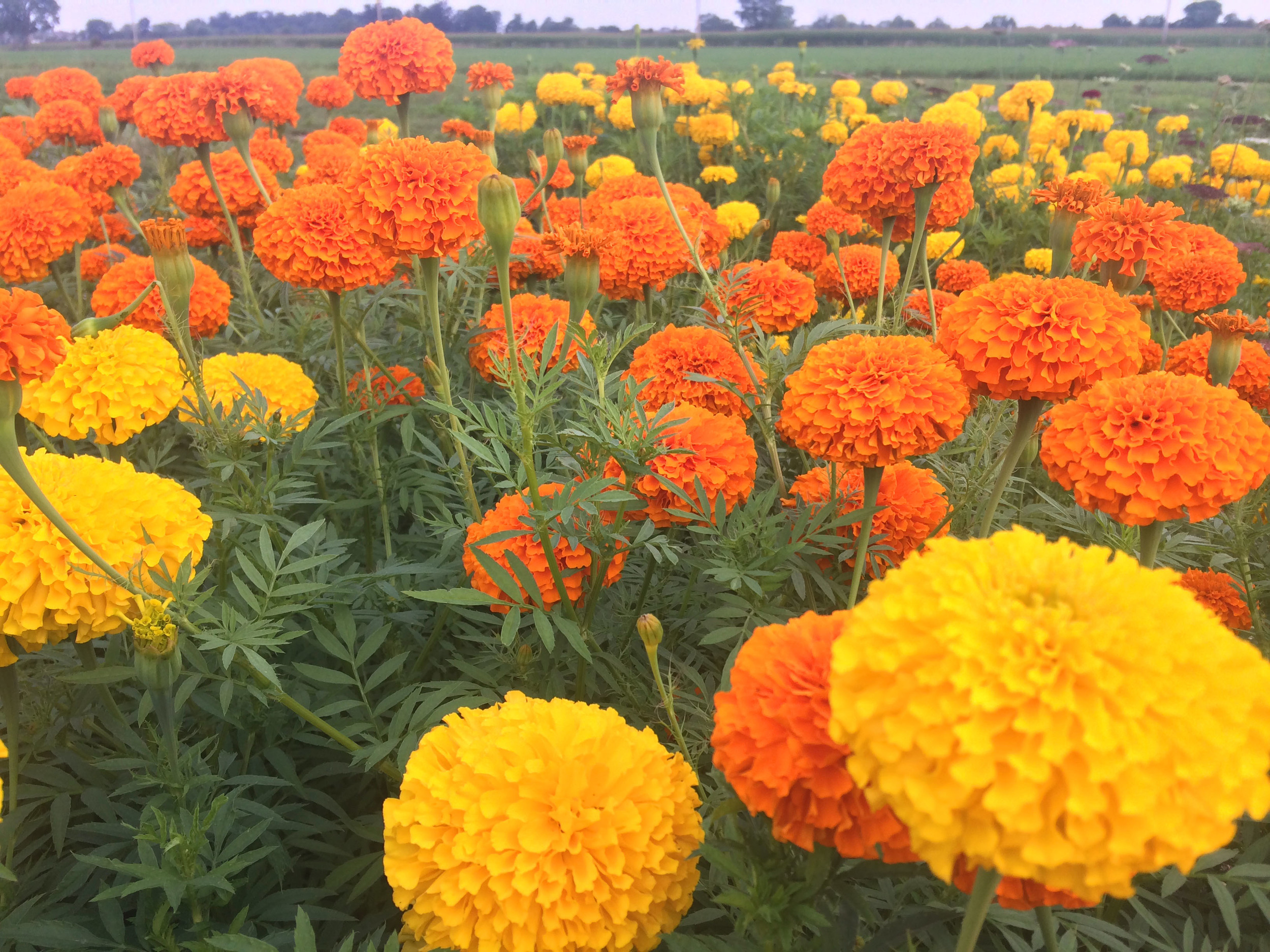Marigolds Did you know that if the foliage is removed, the fragrance is removed with it?