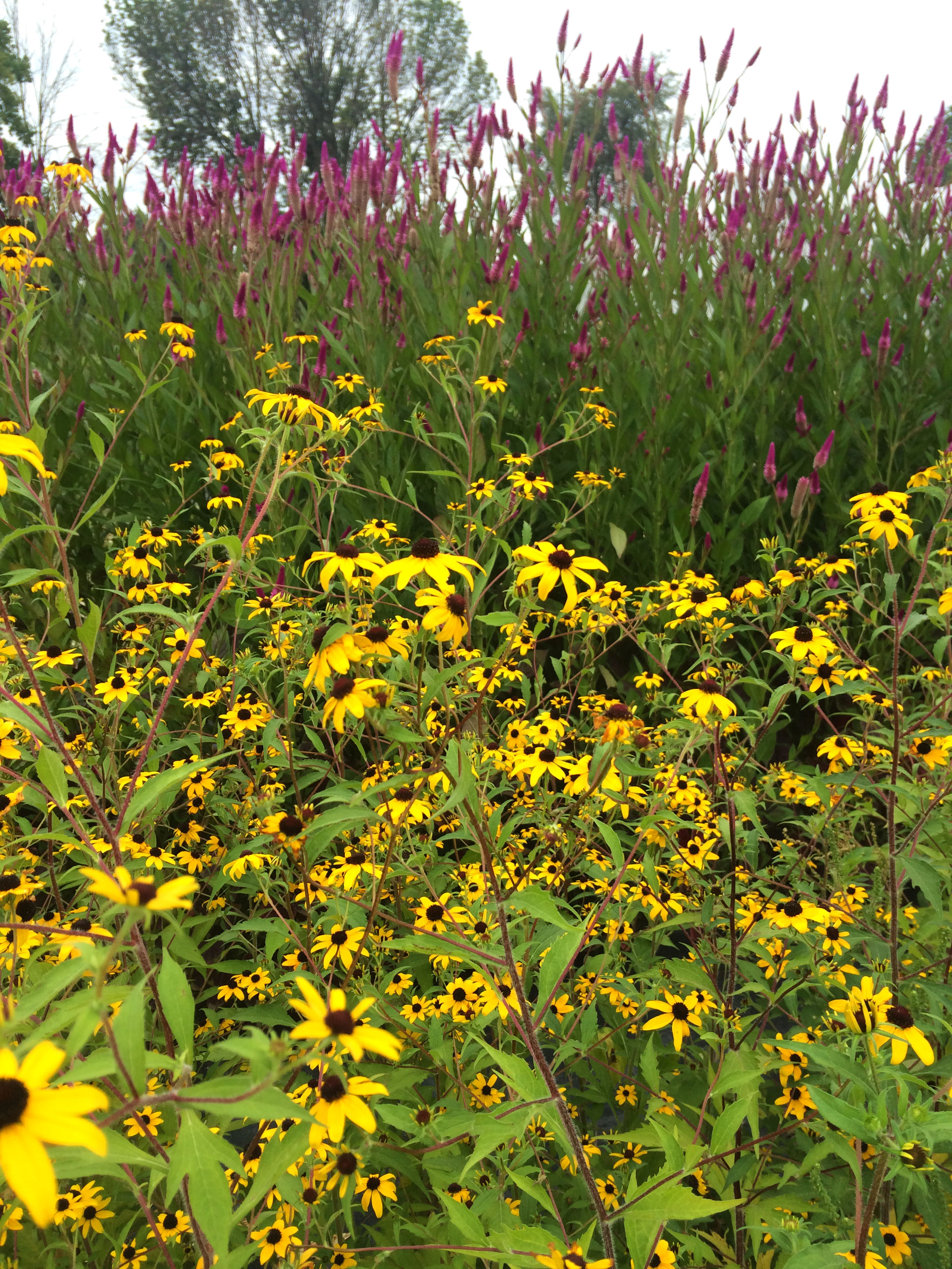 Celway Celosia and Rudbeckia