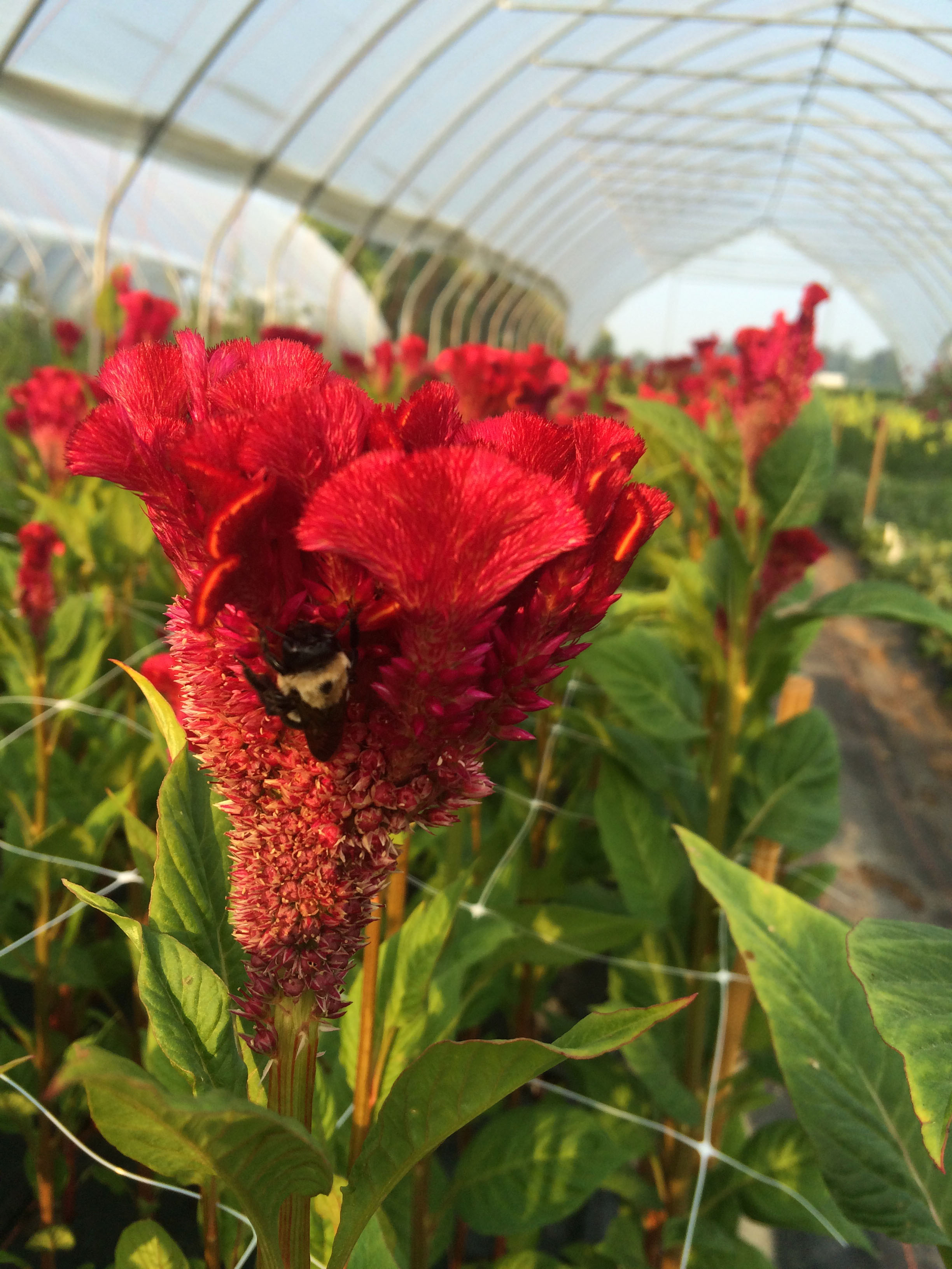 Bombay Celosia-- Look at that vibrance!