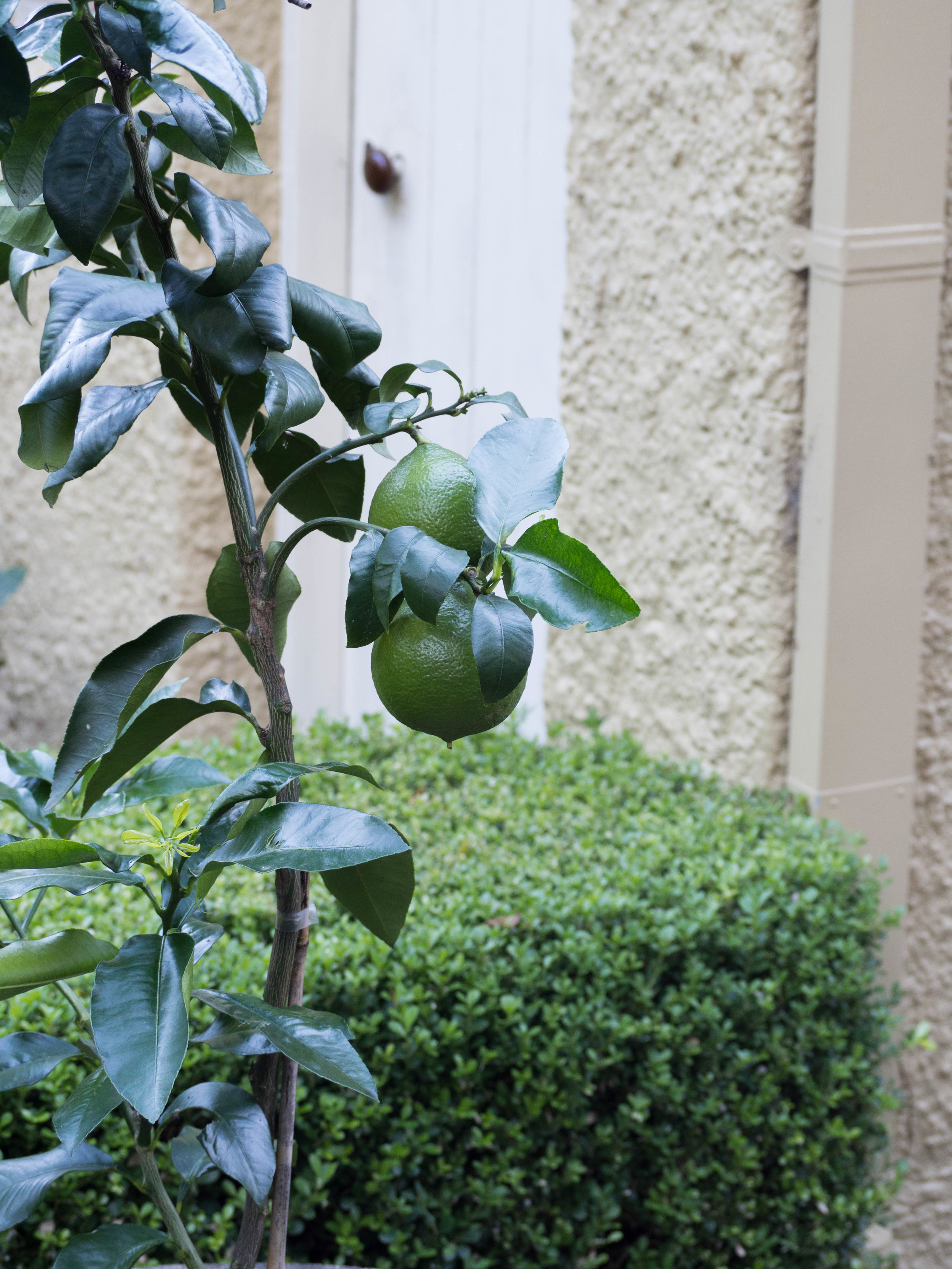 Bergamots growing on the tree before they have ripened