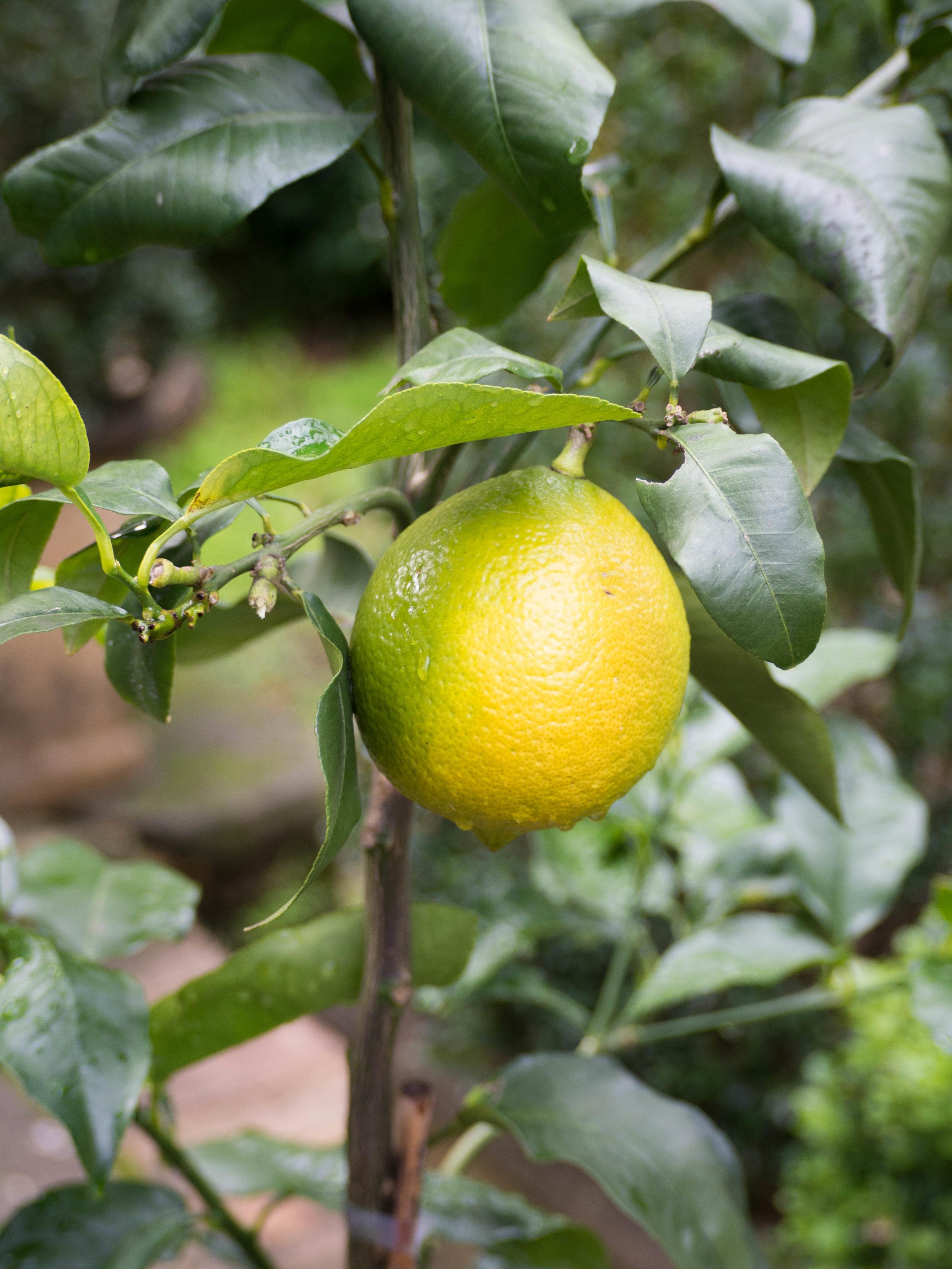 Bergamot on tree almost ripened