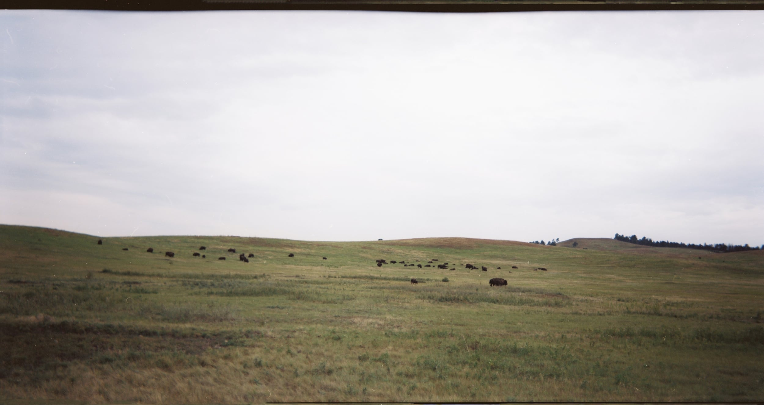 Buffaloes in Custer State Park