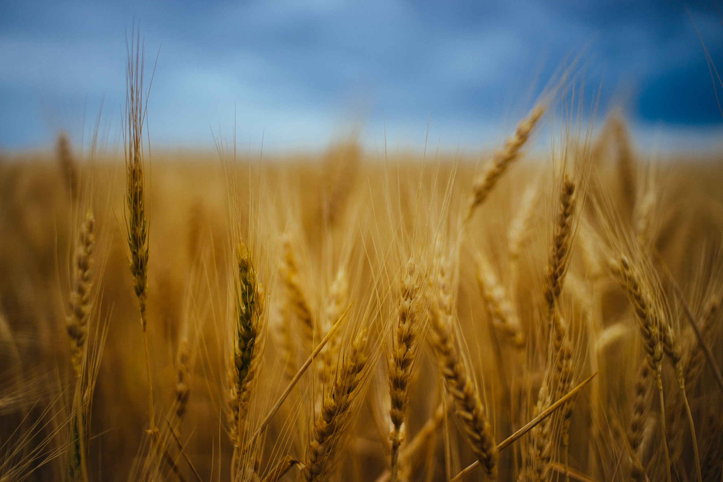 Wheat in the Storm