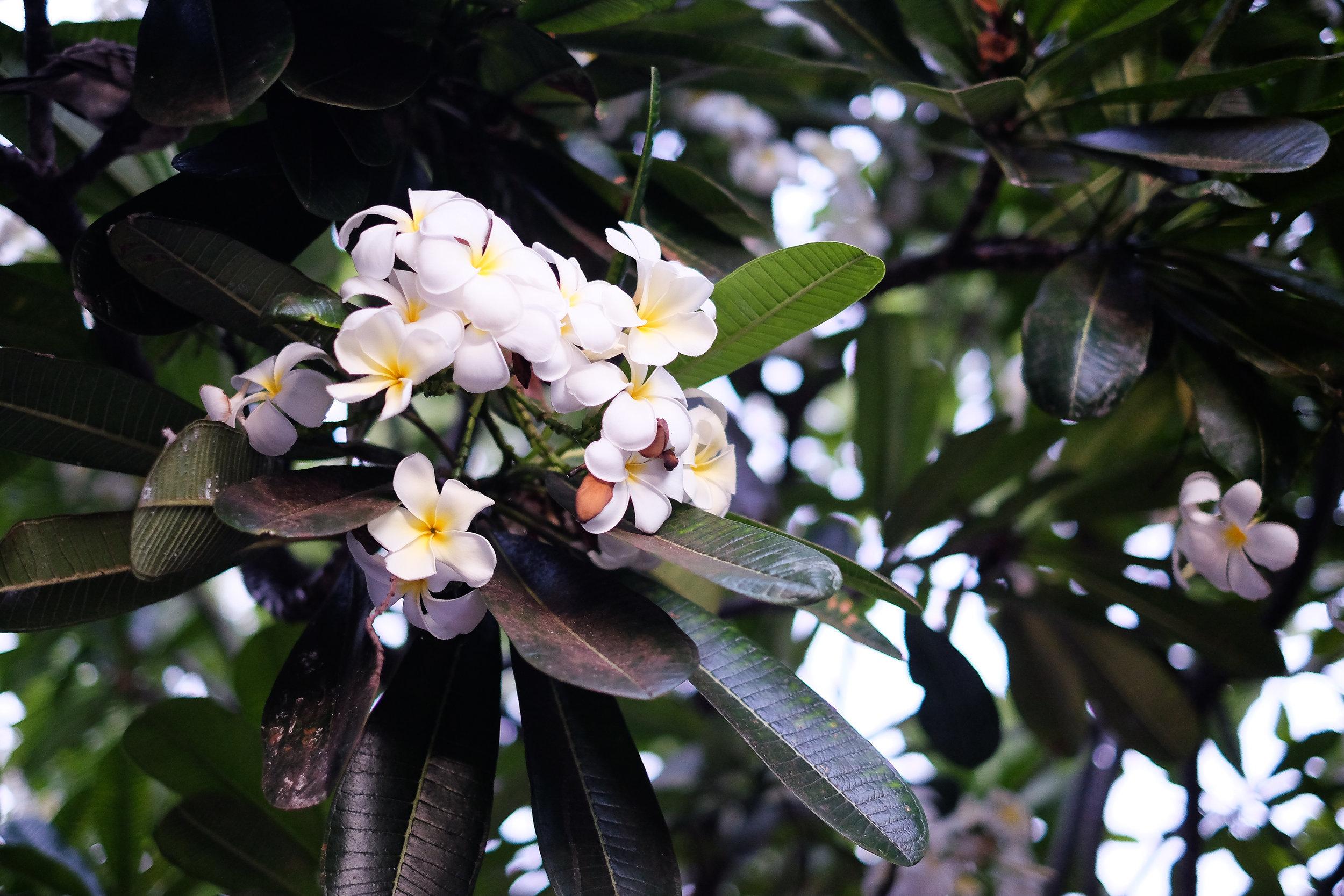 Maui-Plumeria.jpg