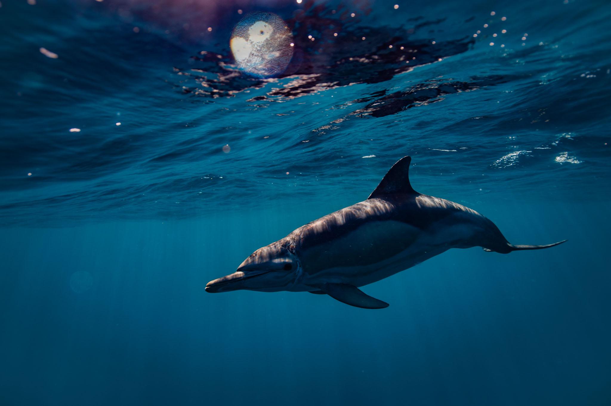 Common Dolphin (Lampedusa, 2017)