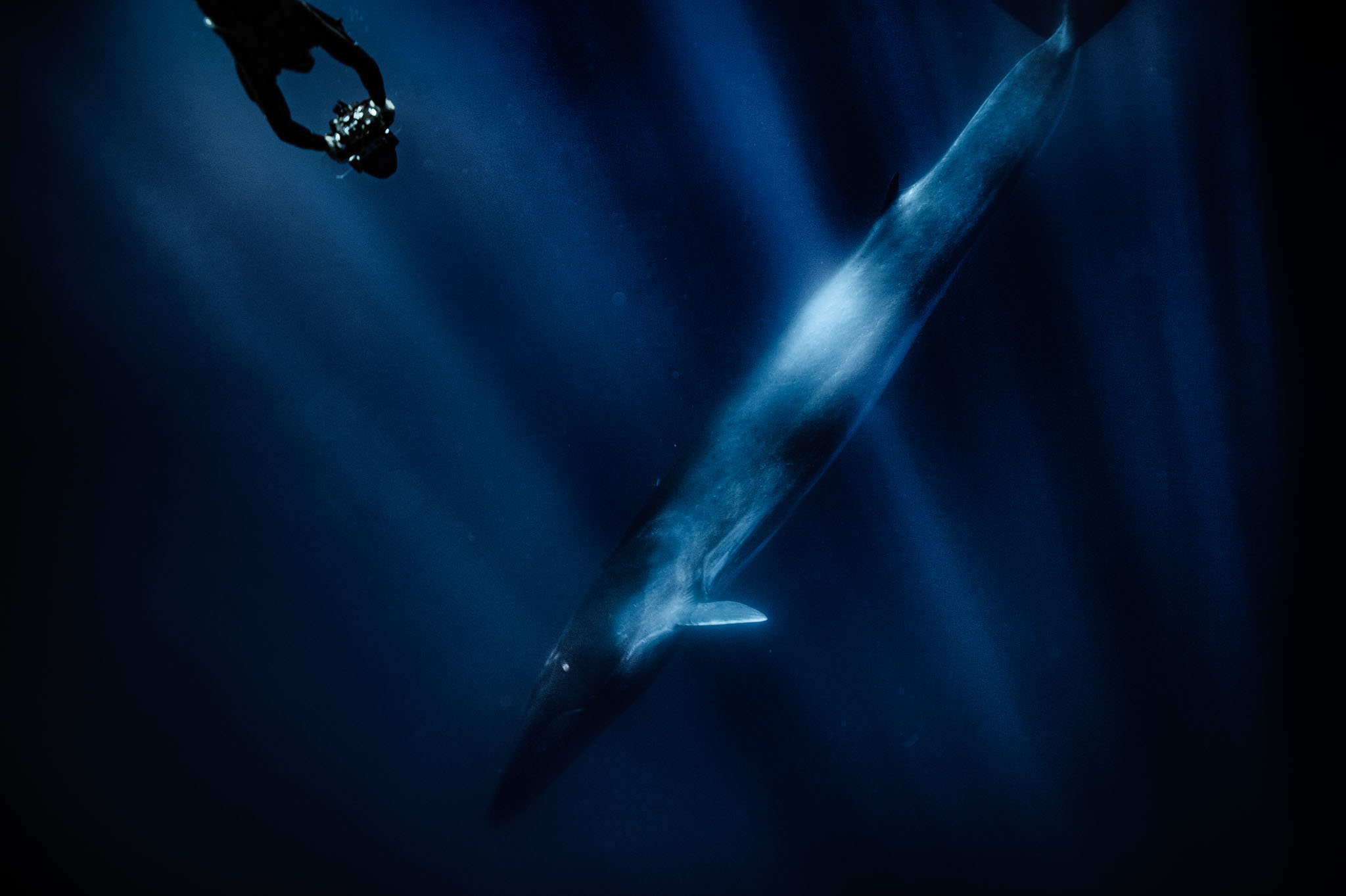 A fIn whale (Balaenoptera physalus) while filming a documentary ,Sicily, Italy. 2017