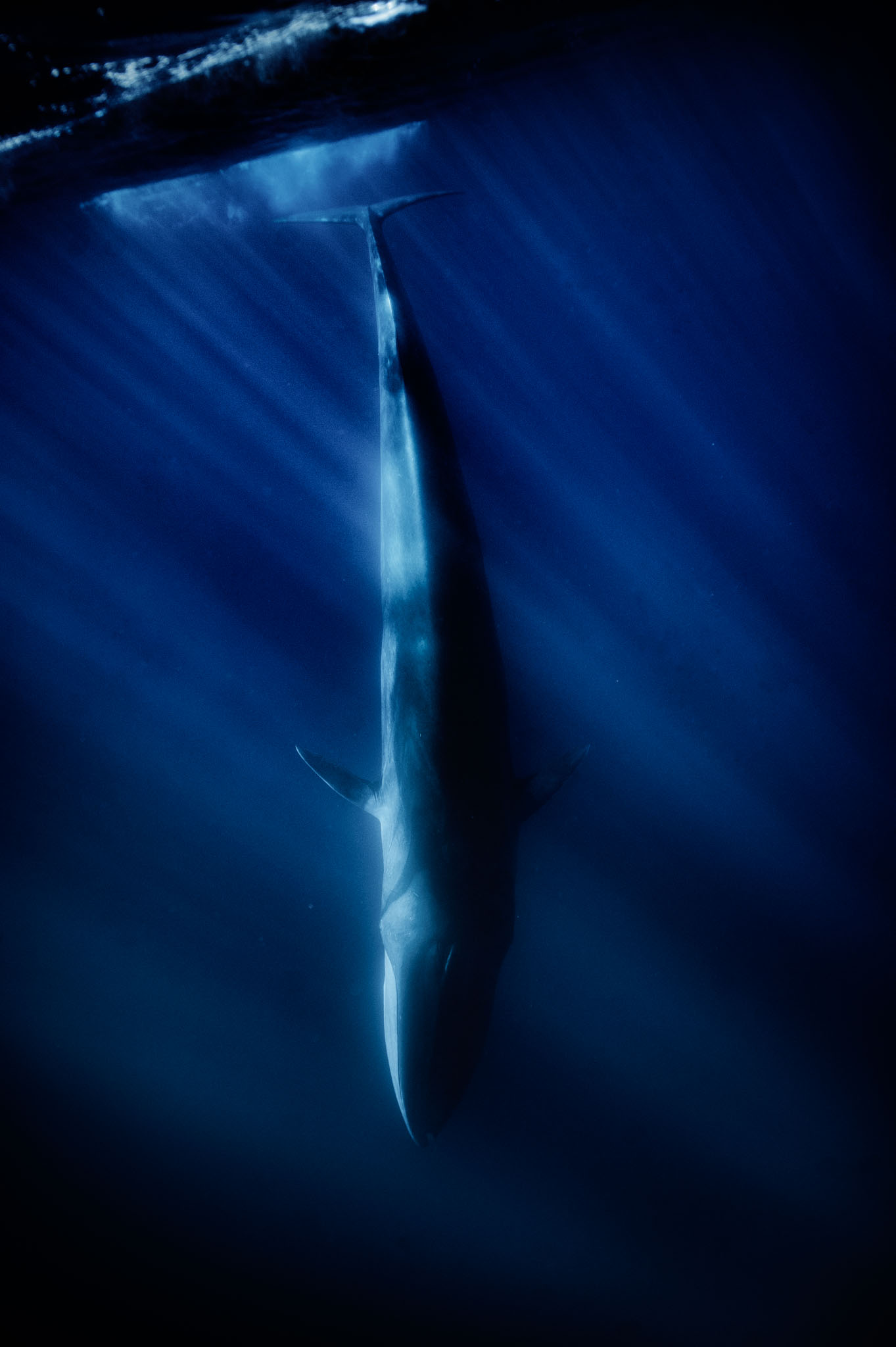 A fIn whale (Balaenoptera physalus)plunging near Lampedusa.It is the second largest animal after the blue whale. The largest reportedly grow to 27.3m.Sicily, Italy. 2017