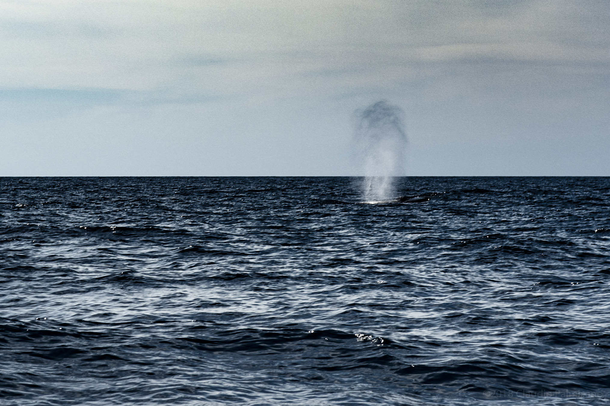 A Fin Whale Blow. (Lampedusa, 2018)
