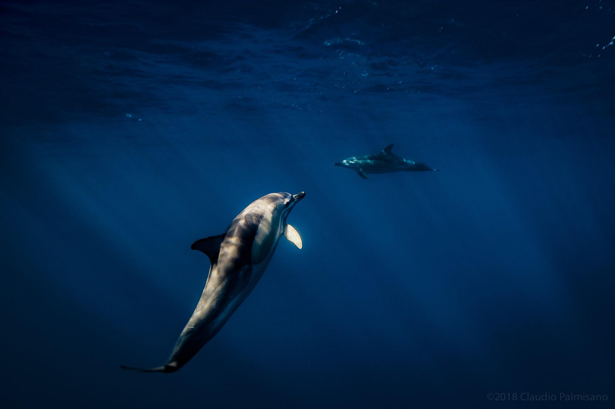 Common Dolphins (Lampedusa 2018)
