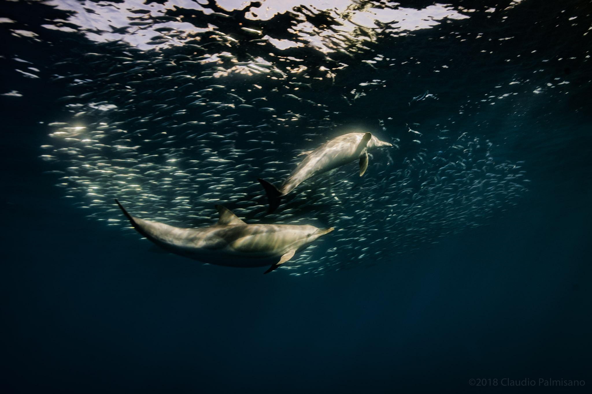 Common Dolphins hunting Sardinella Aurita (Lampedusa 2018)