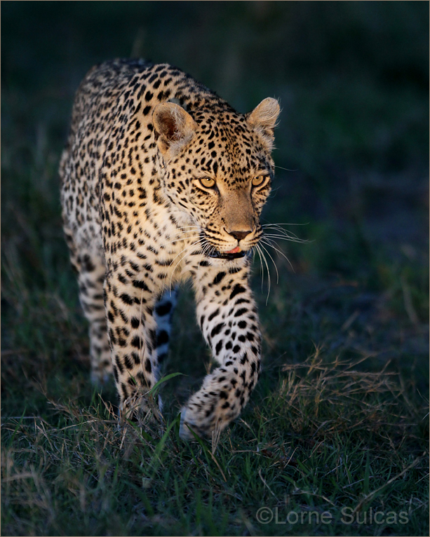 A leopard stalks its prey.  Image supplied by  Lorne Sulcas.