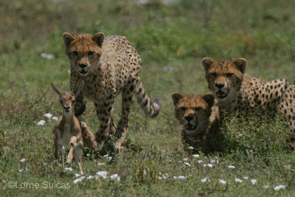 Cheetahs line up for the kill.  Image supplied by  Loren Sulcas .