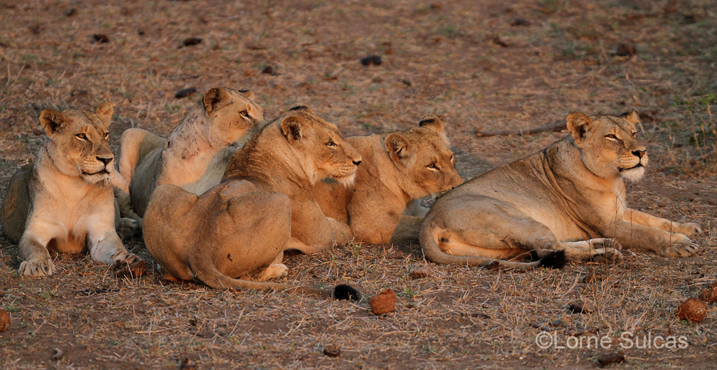 Lionesses rest before the night's hunt. Image supplied by  Lorne Sulcas .