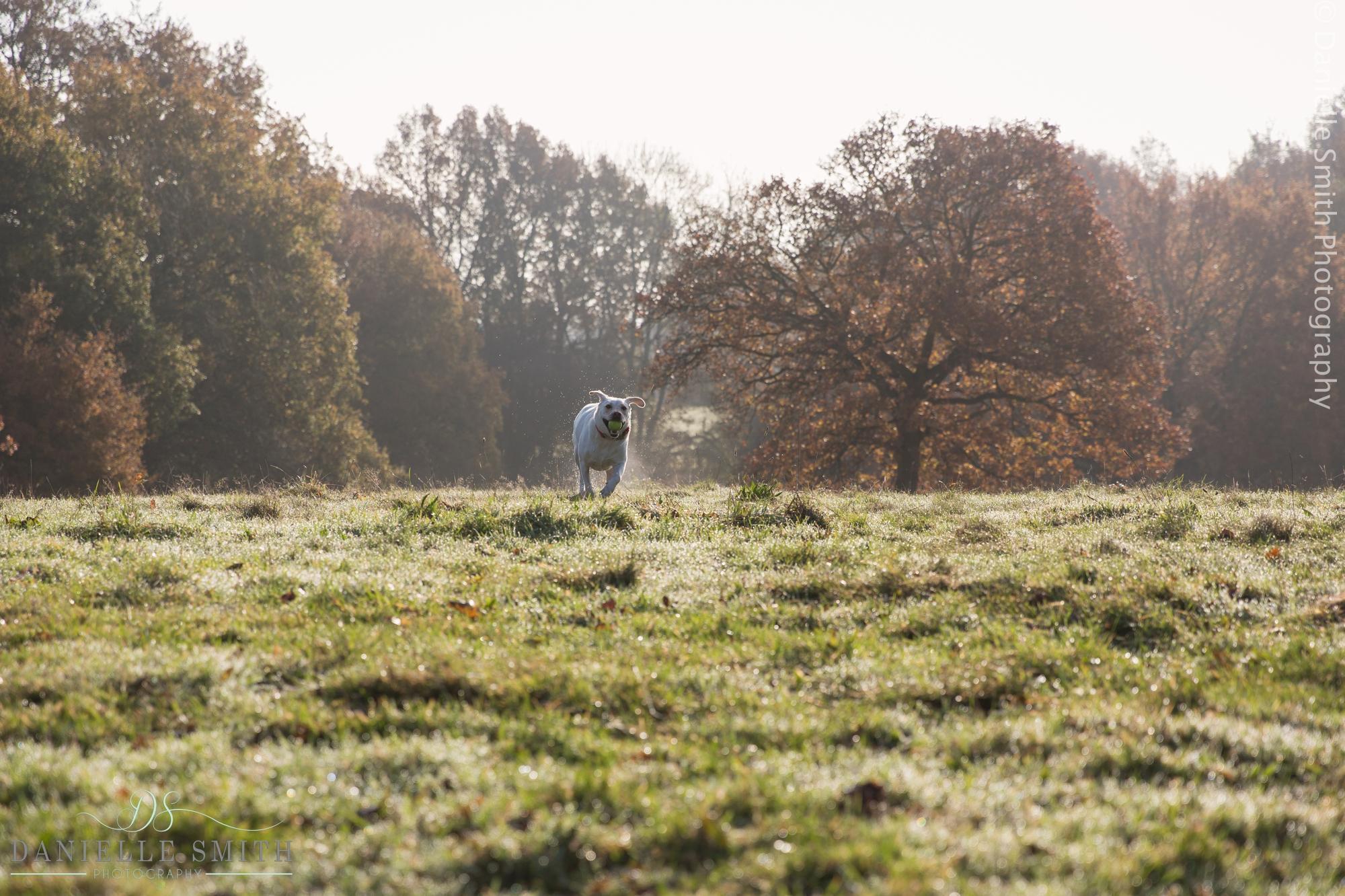 labrador running through field