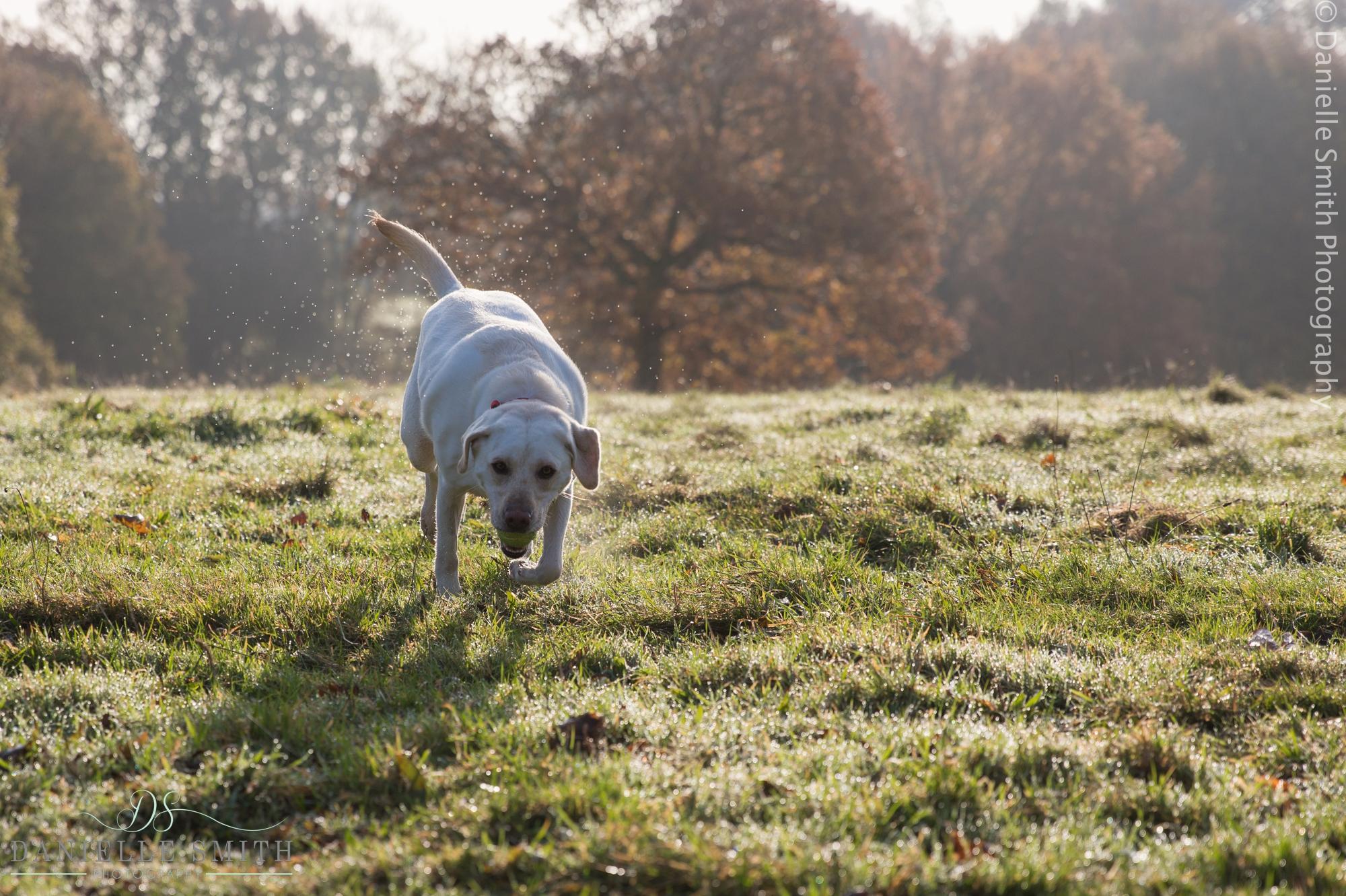 labrador running in winter park