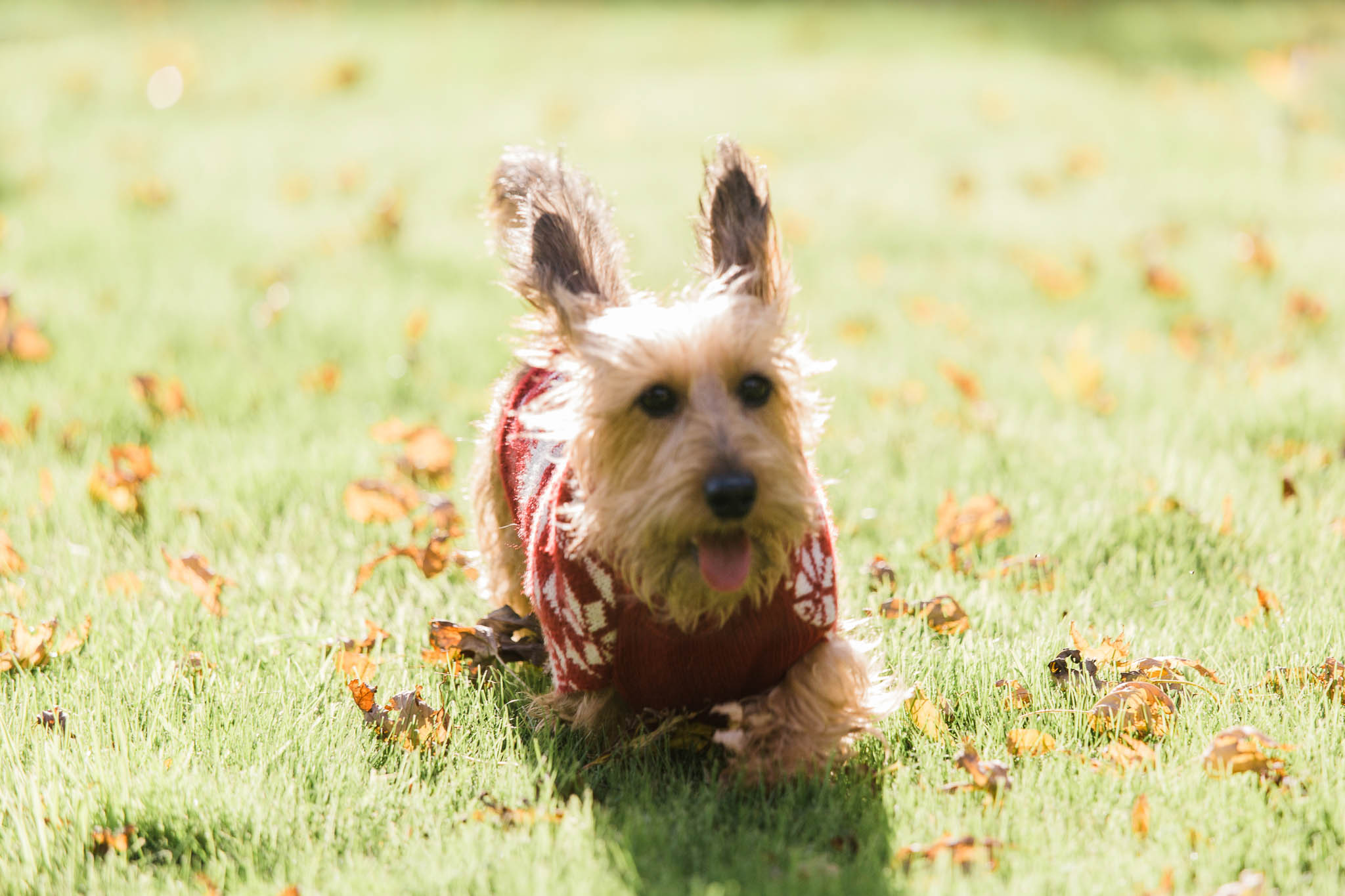 long hair dachshund running with christmas jumper on