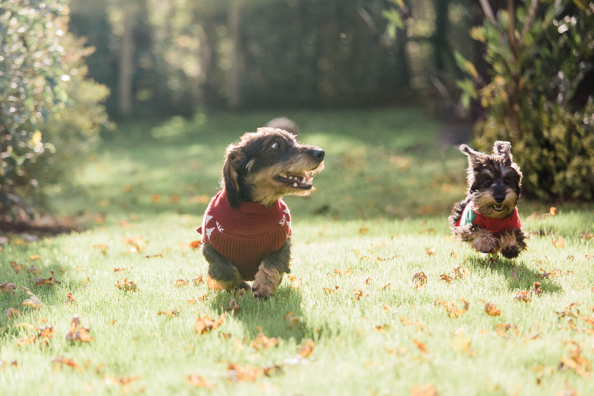 dachshund puppies running in garden with xmas jumpers