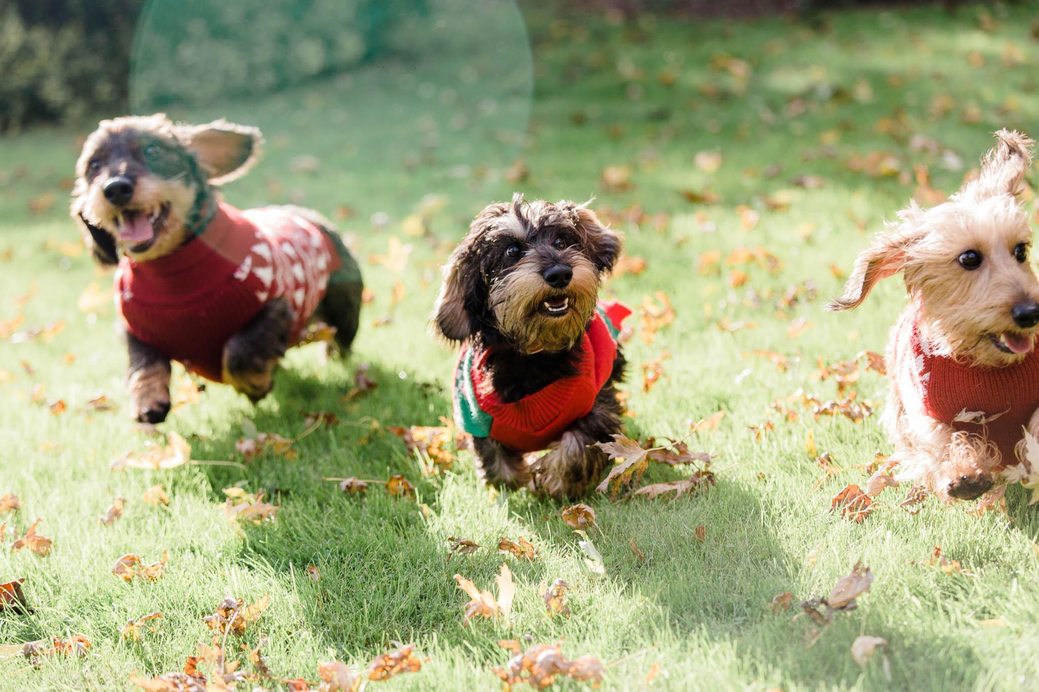 three sausage dogs running - dog photography