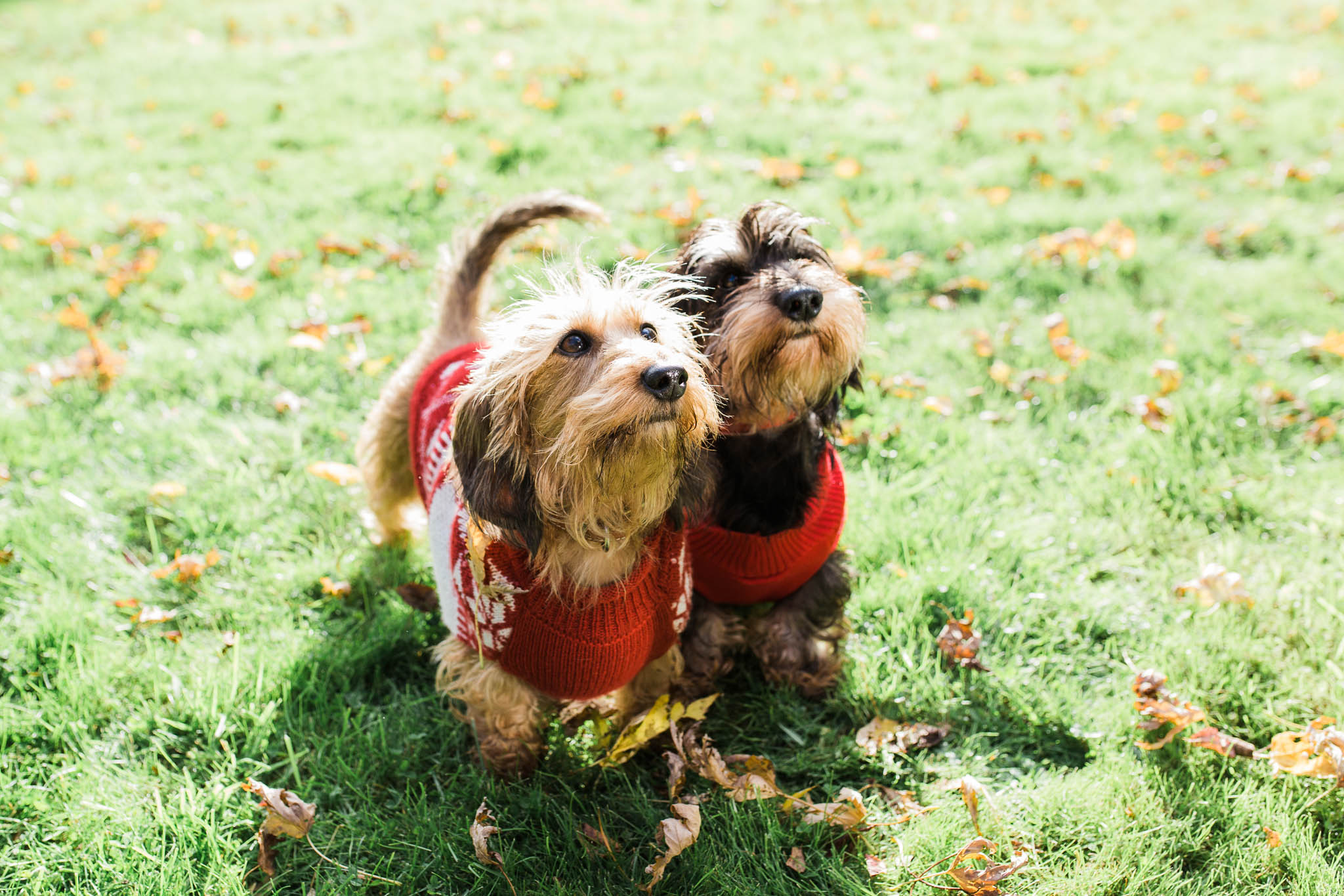 two sausage dogs in xmas jumpers