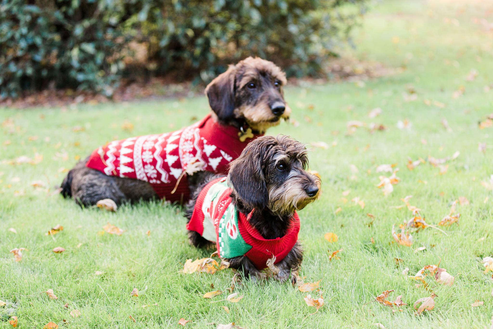 dogs in xmas jumpers - dog photographer essex