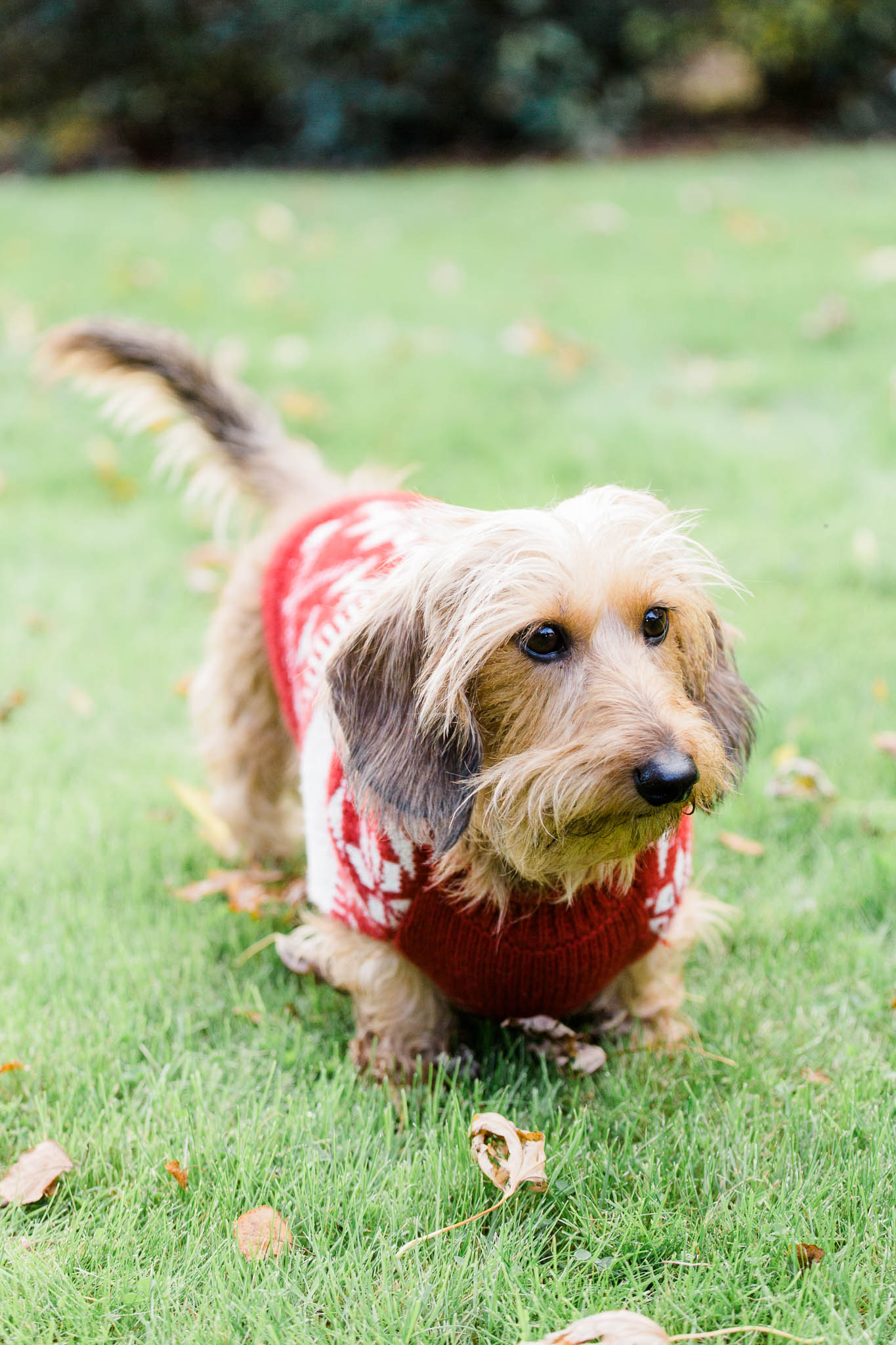 sausage dog in garden with christmas jumper on