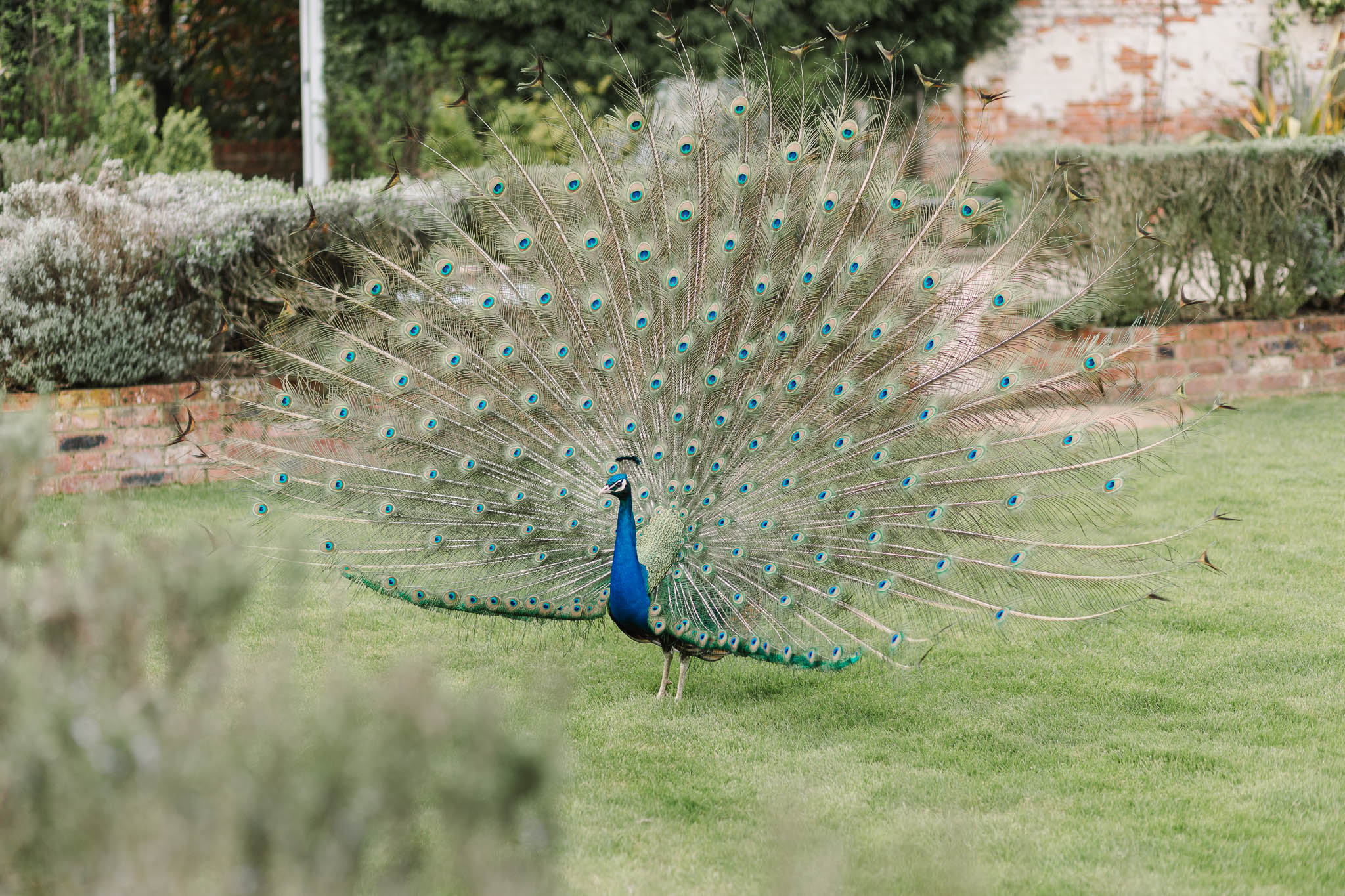 peacock spreading feathers at wedding