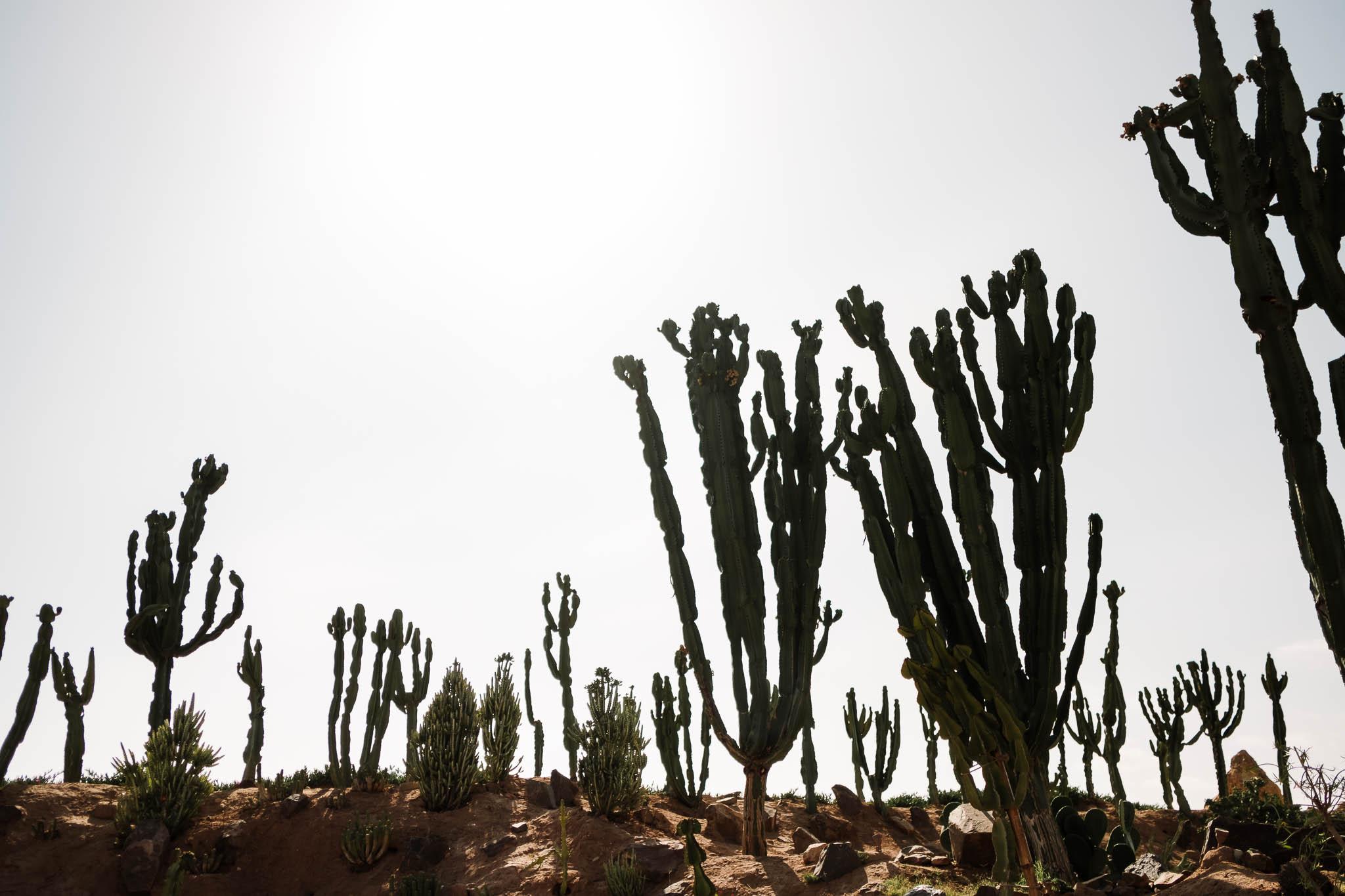 cactus plants in sun