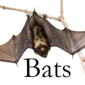 Big_brown_bat4.jpg