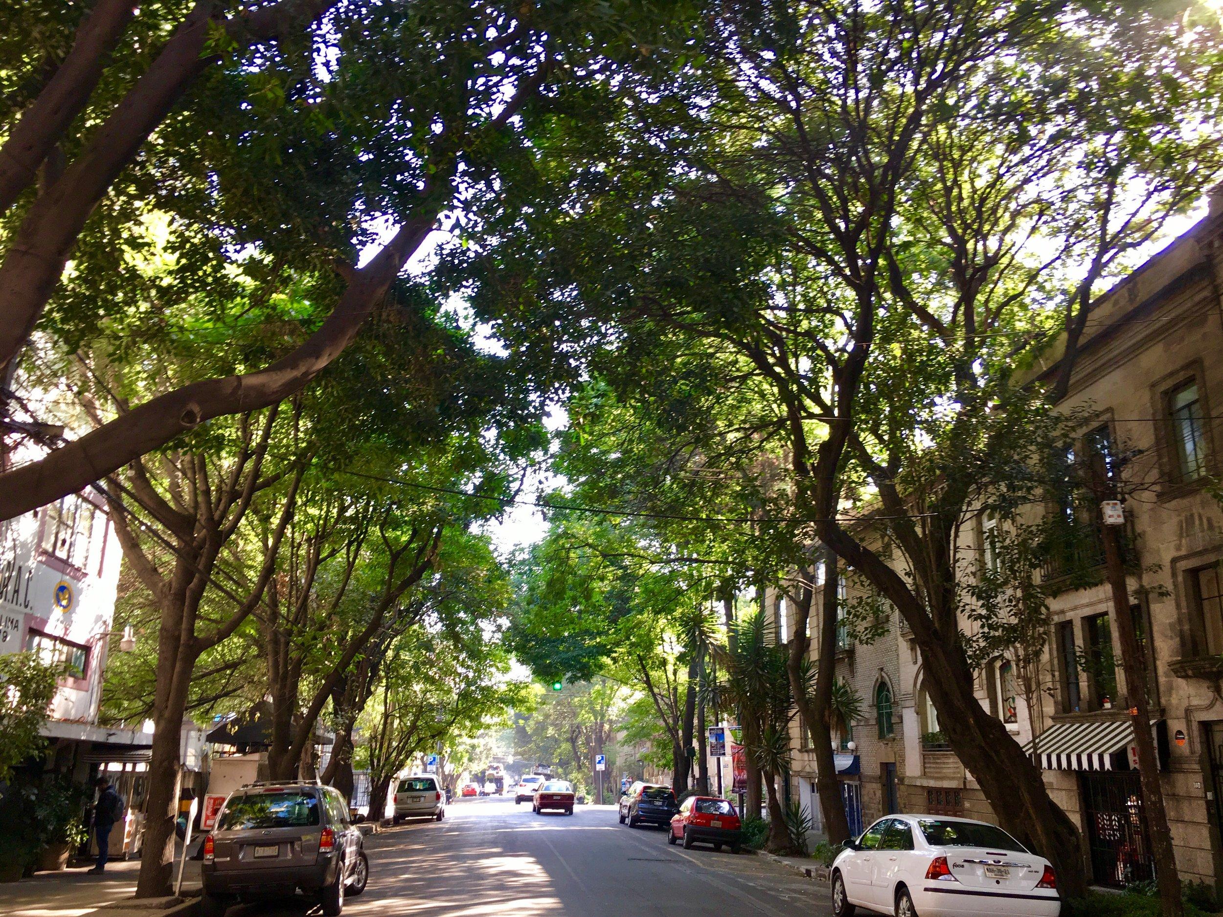 Roma Norte_Kissing Ficus Trees.jpg